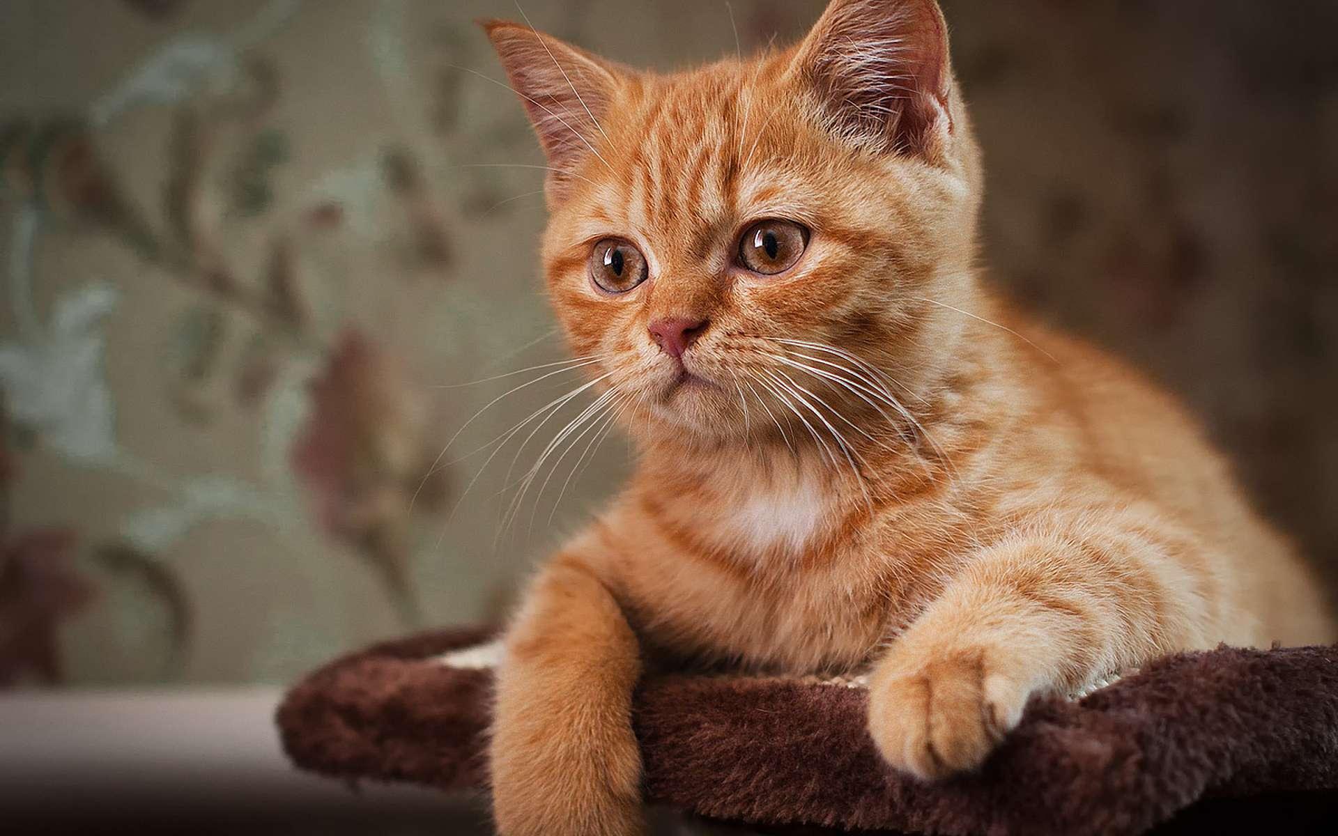 Картинка рыжей кошечки