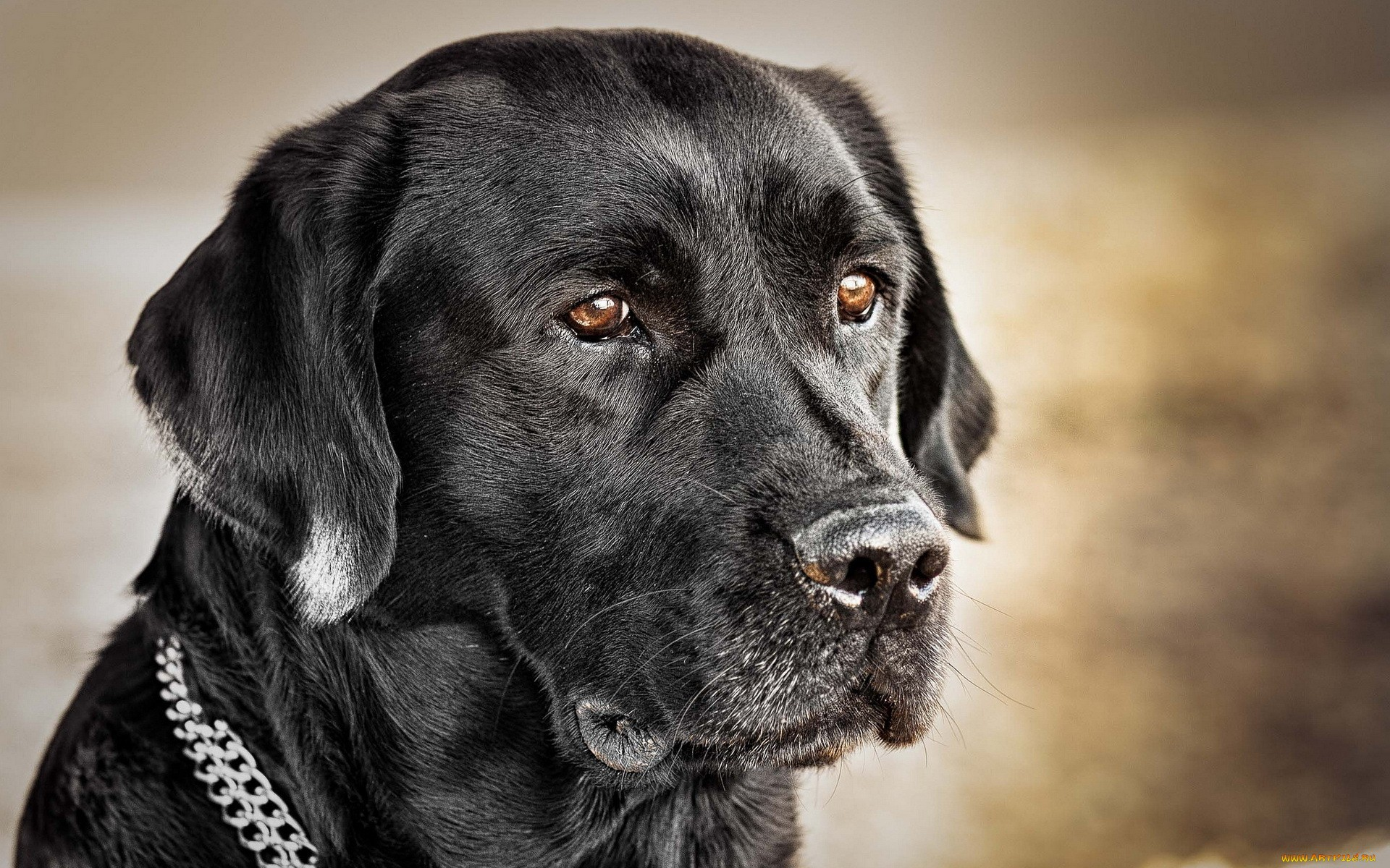 Пёс черный взгляд  № 1127438 бесплатно
