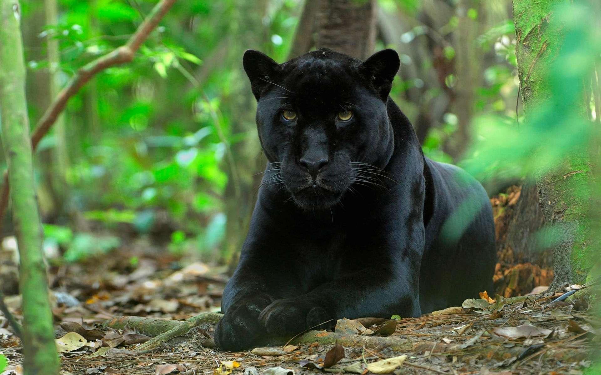 отличием цифрового все фото черный ягуар лежит юных лет
