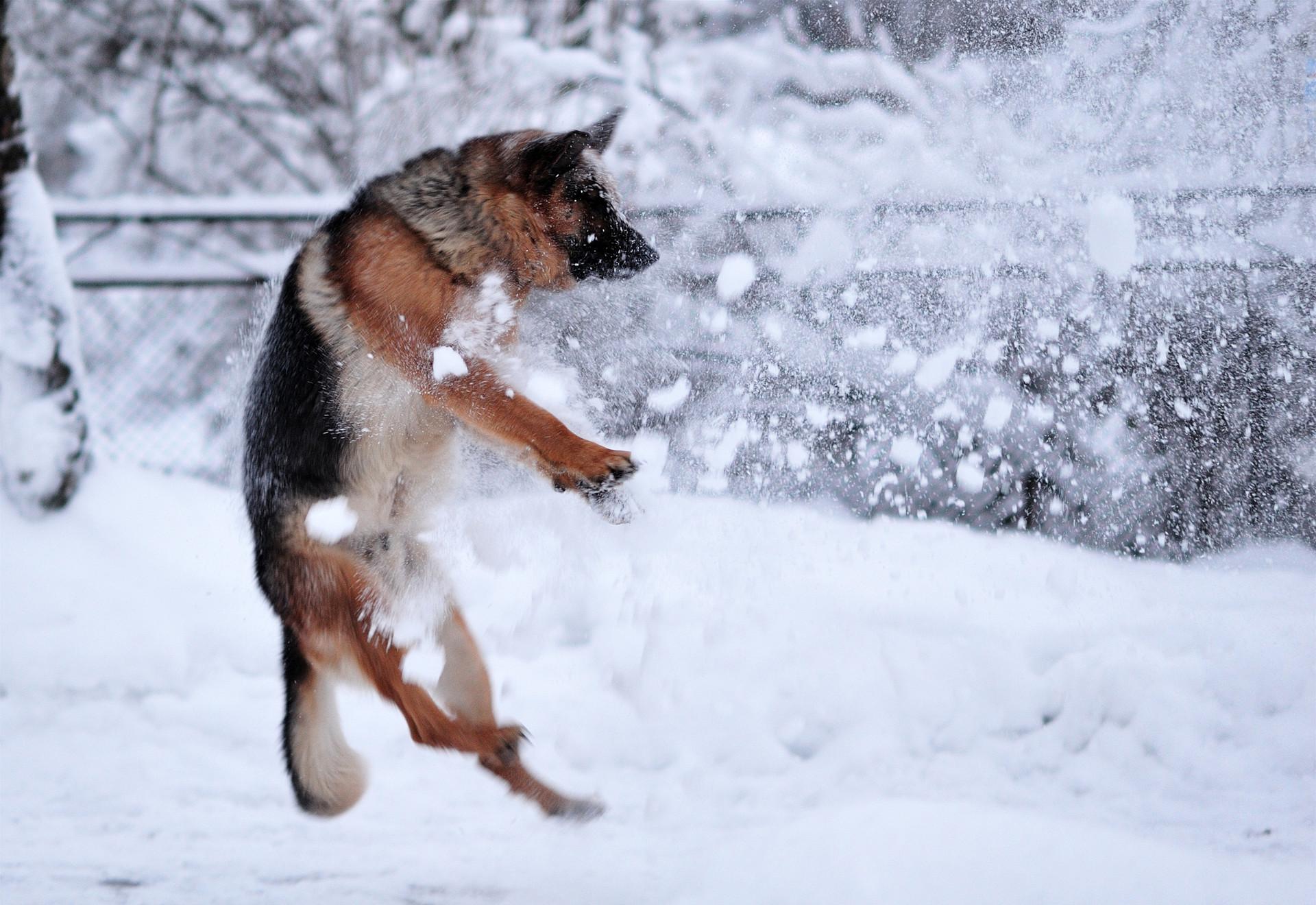 собачки на зимней прогулке  № 1978706  скачать