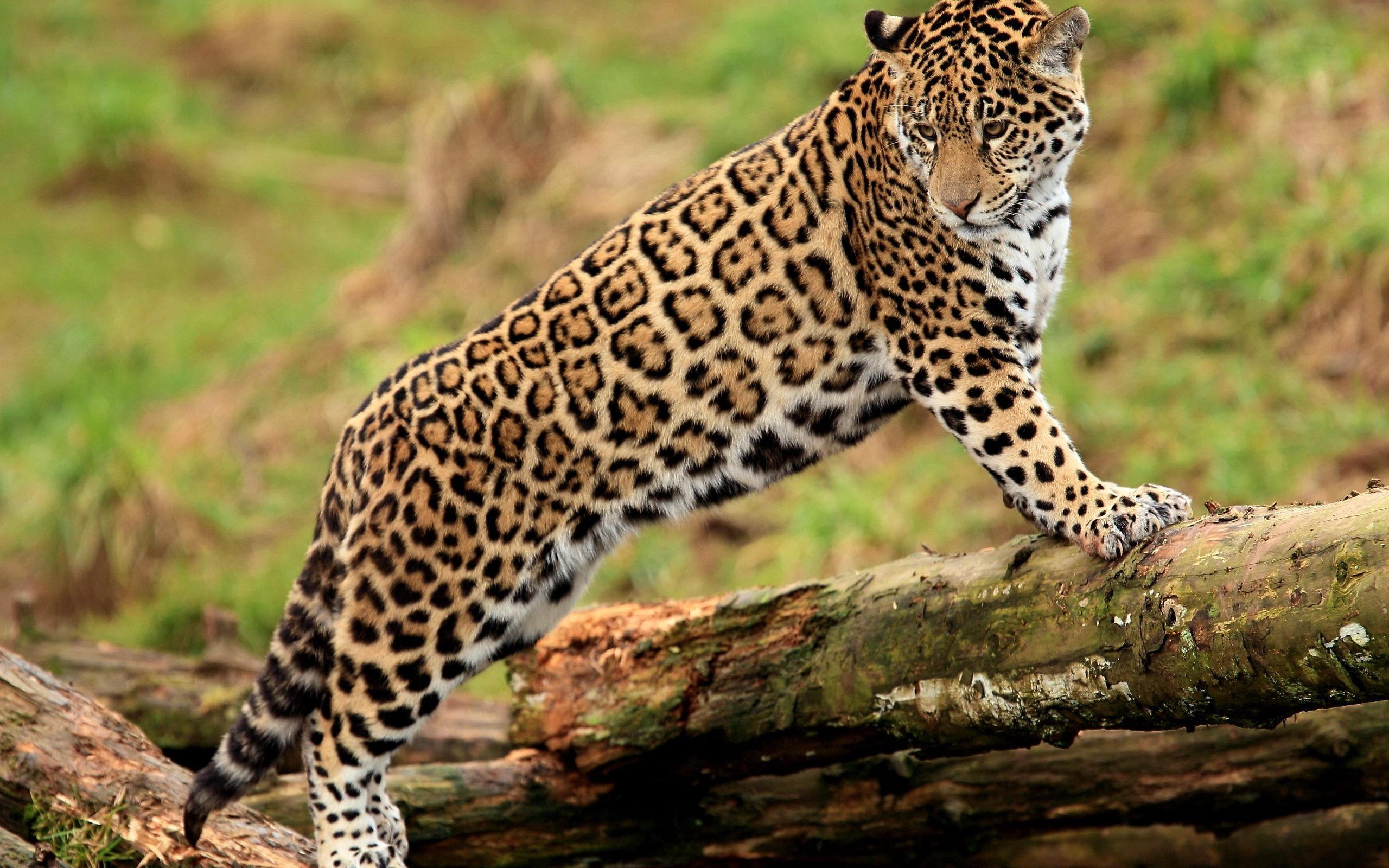 Затаившийся гепард  № 699246 бесплатно