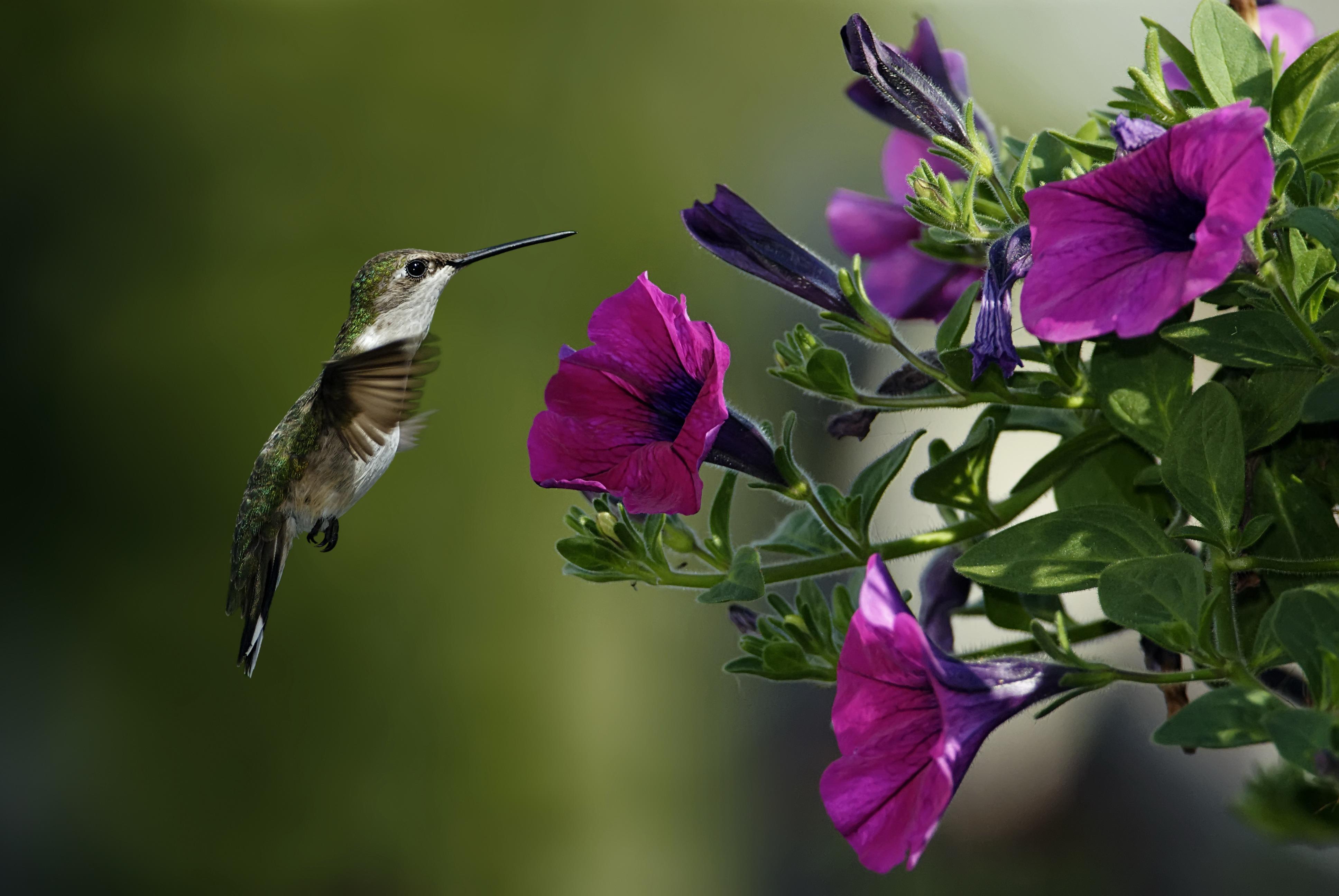 Калибри на цветке  № 2039343 без смс