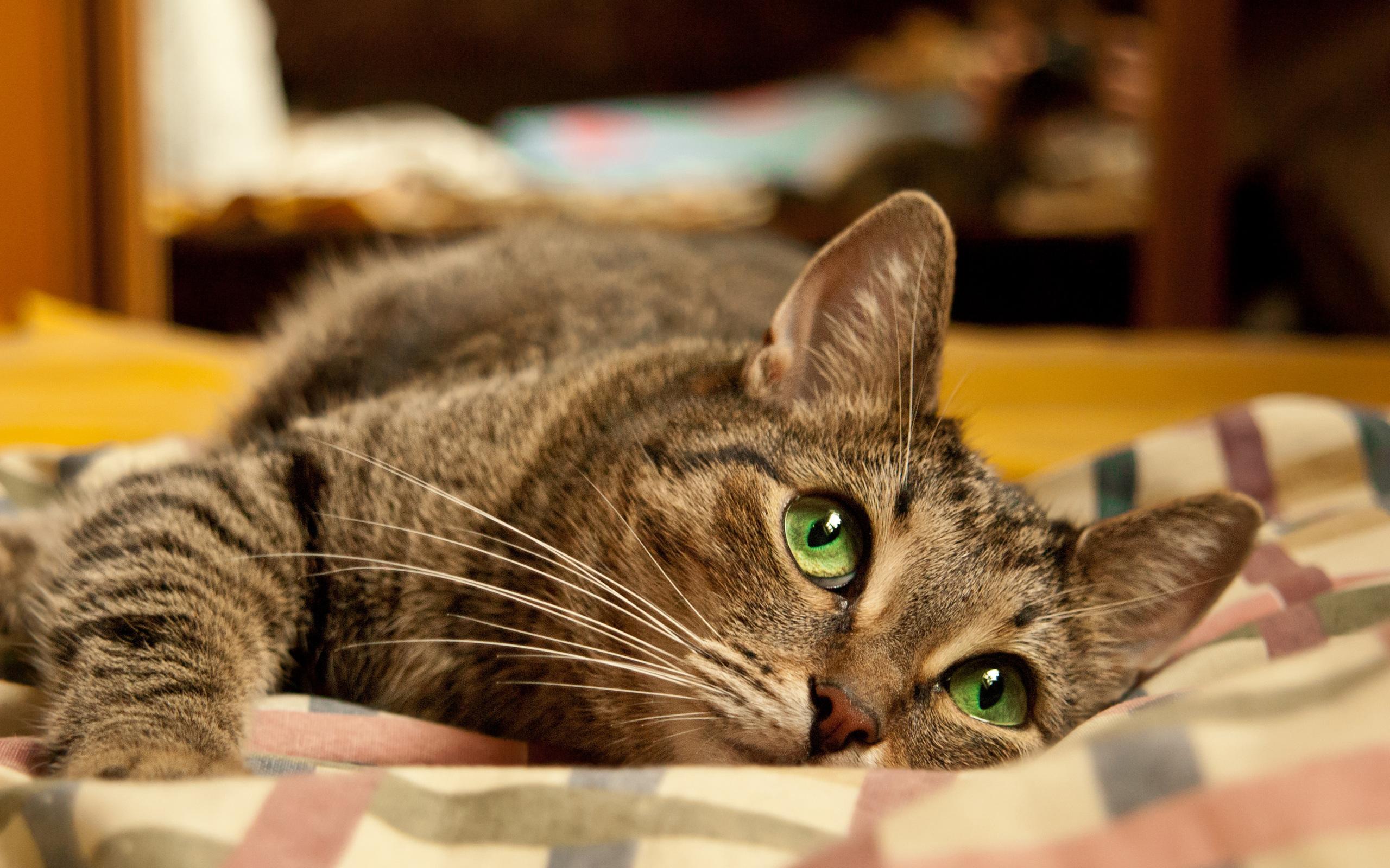 Лежащий кот  № 176323 бесплатно
