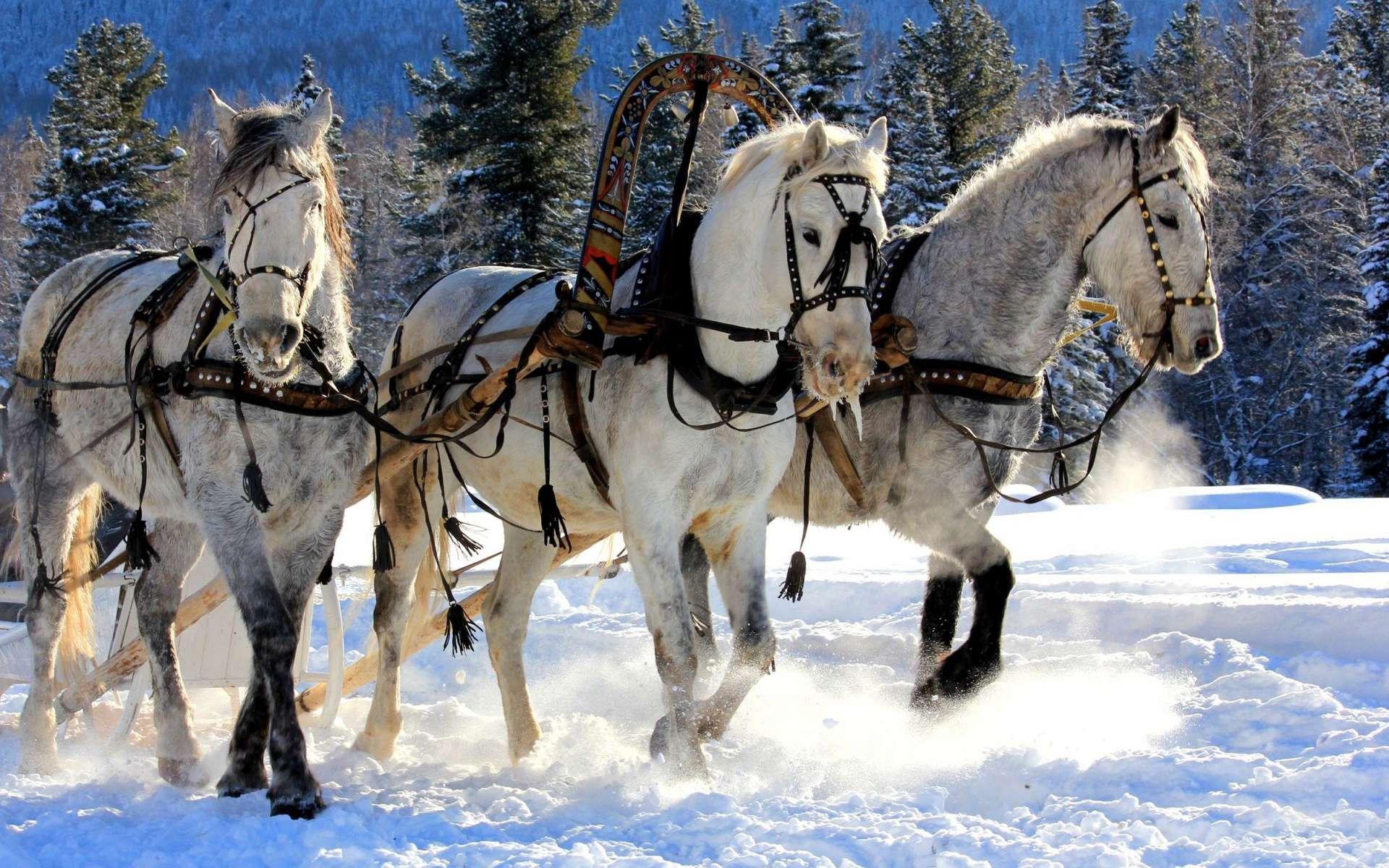 Соревнования конных упряжек бесплатно