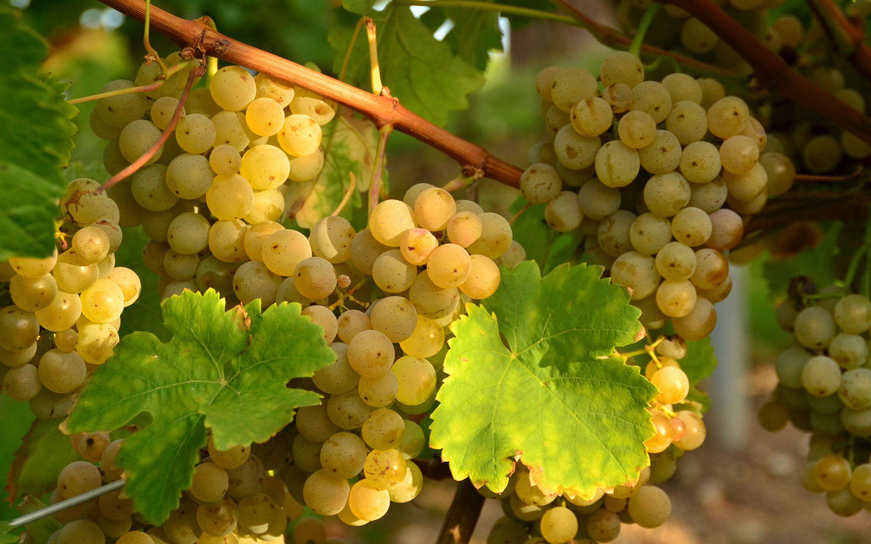 виноград гроздь ветка без смс
