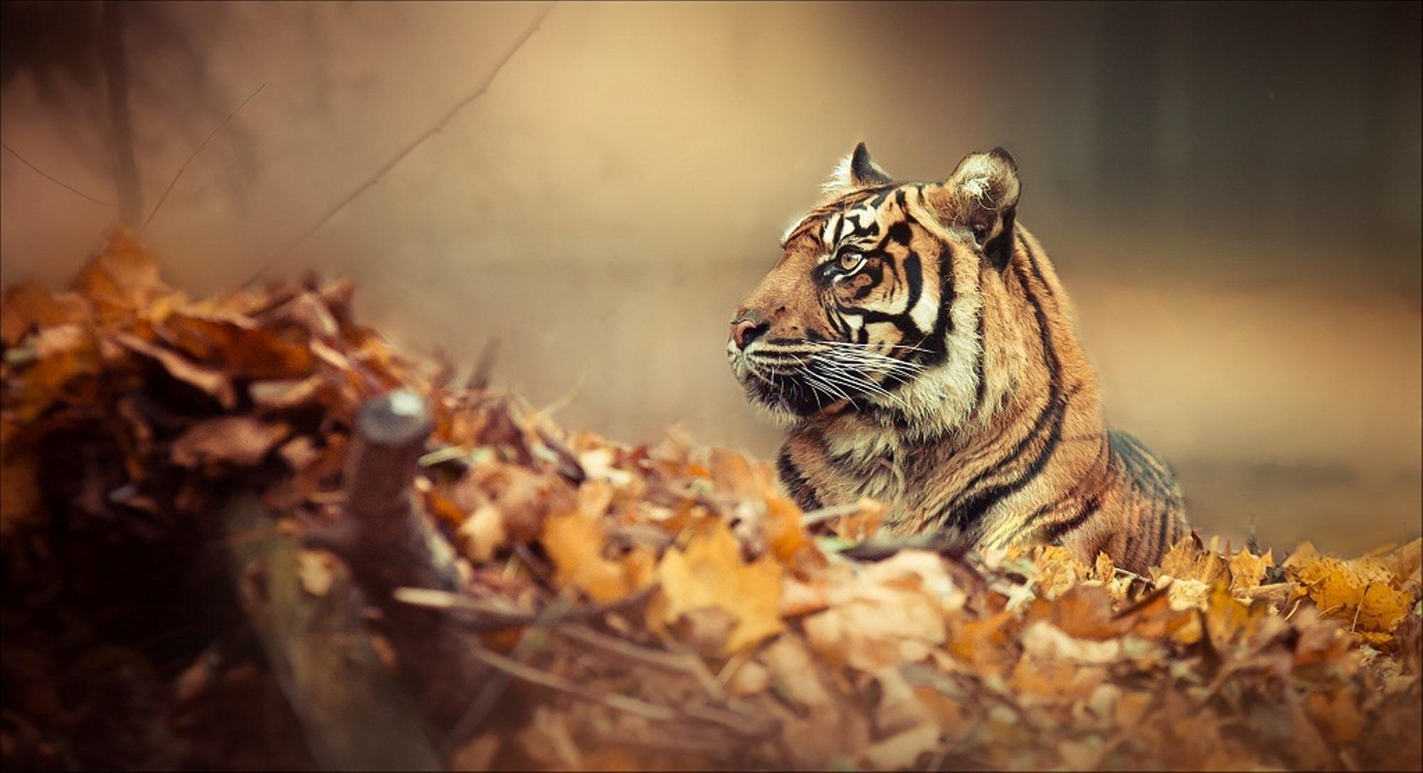 природа животные тигры  № 99283 загрузить