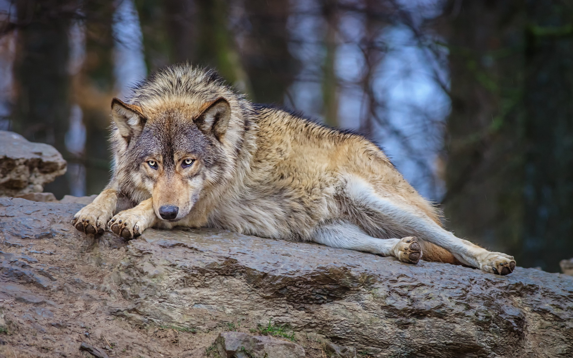 Скачать Обои На Рабочий Стол Волк