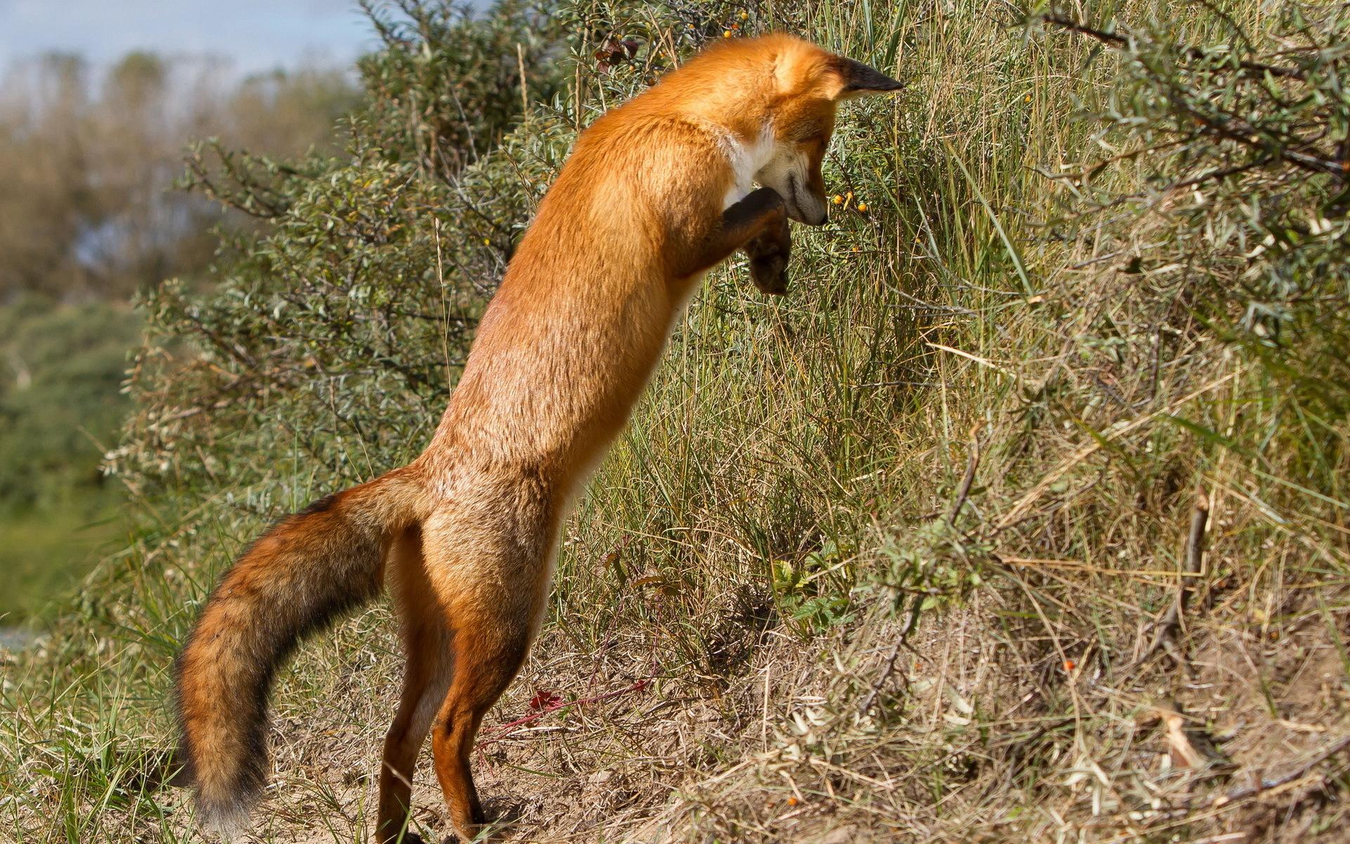 природа лиса животное трава бесплатно