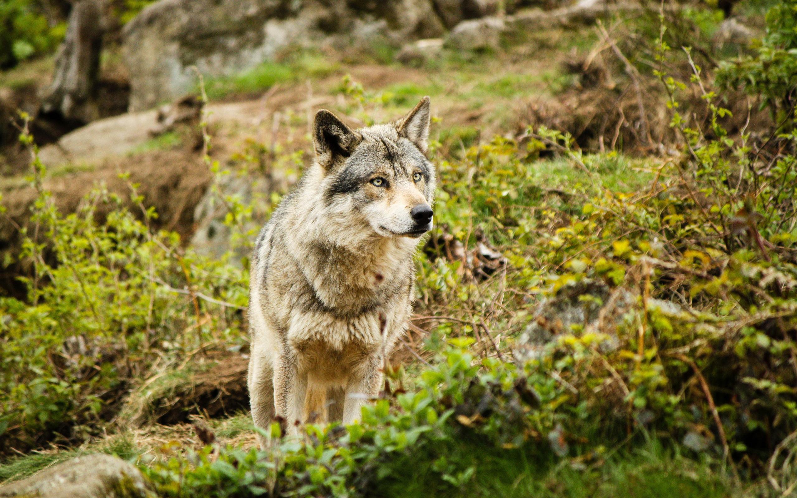 Волк в кустах бесплатно