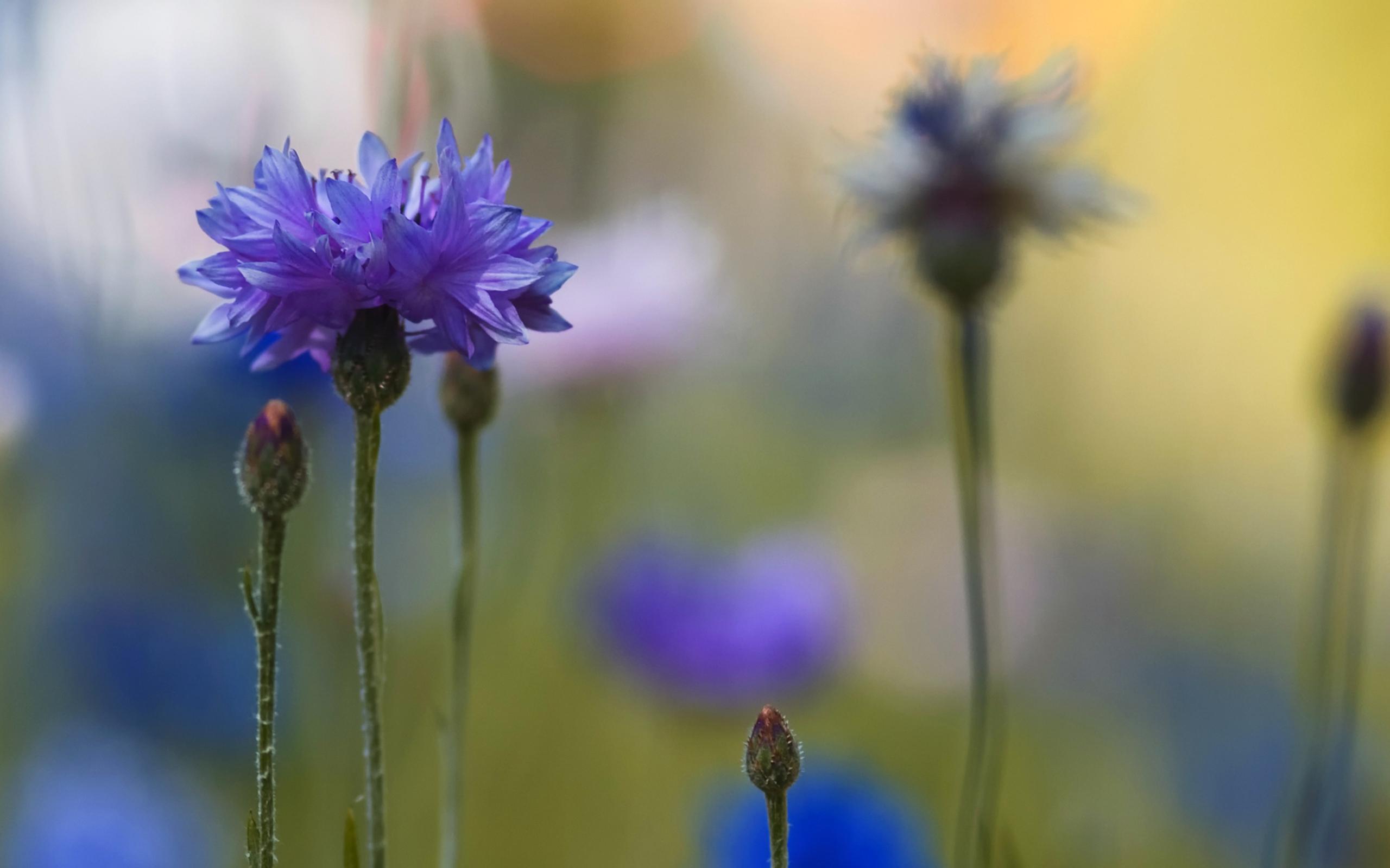 природа синие цветы nature blue flowers  № 1376552 без смс