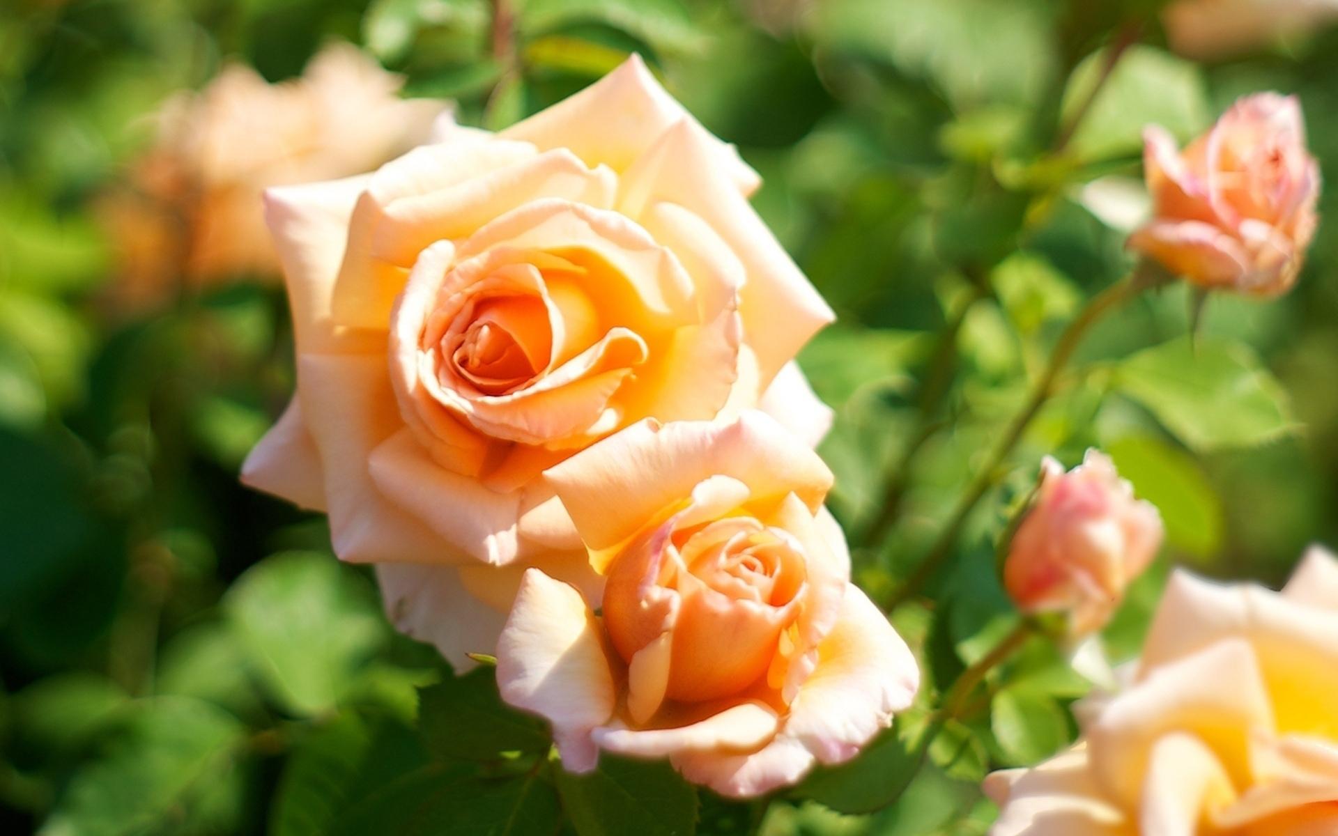 Красивые открытки чайная роза