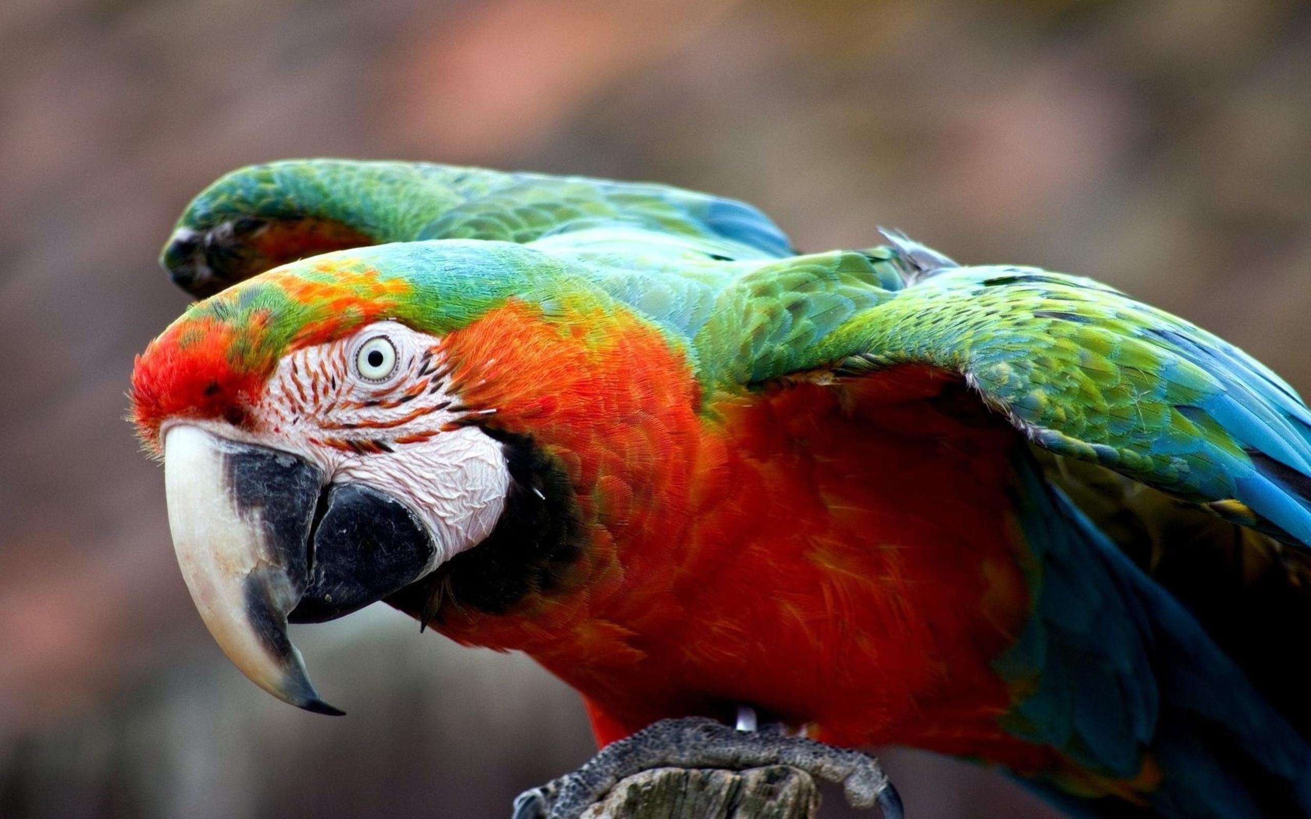 Красный попугай бесплатно