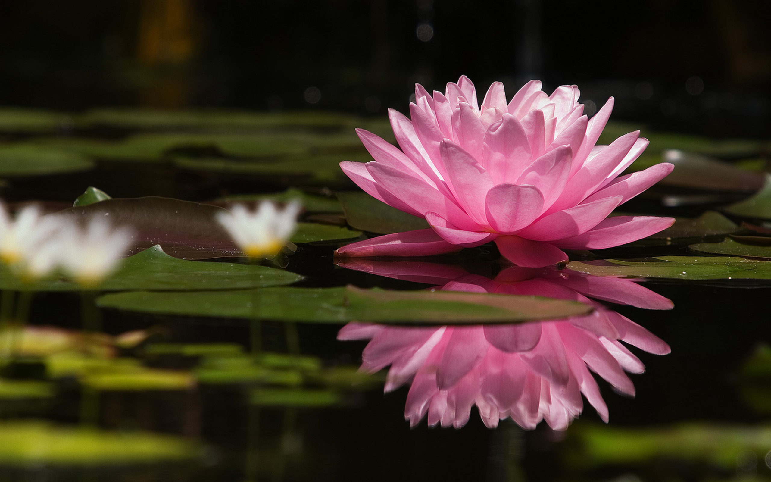 лилии озеро отражение  № 3274794 бесплатно