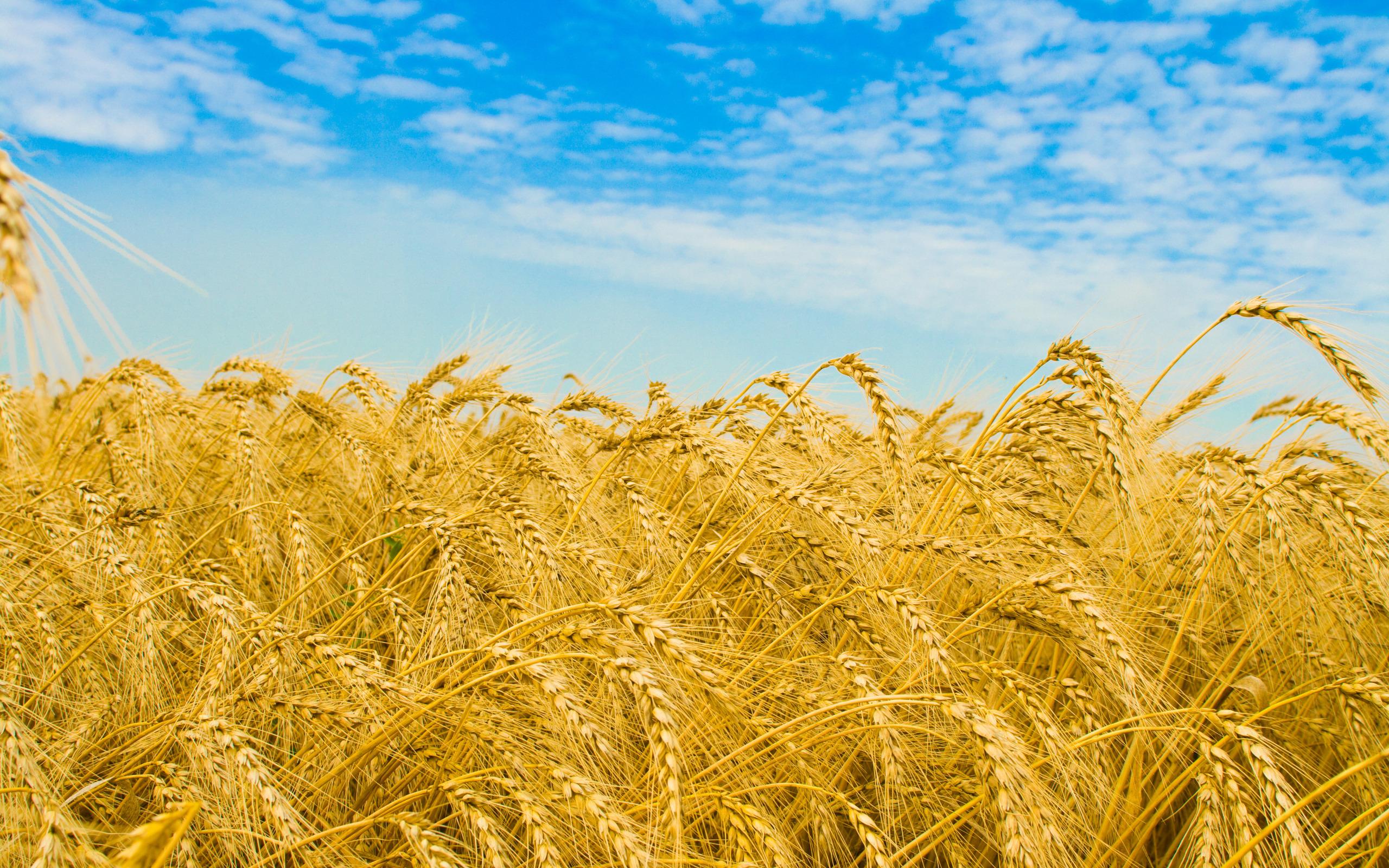Картинки лето поле пшеницы