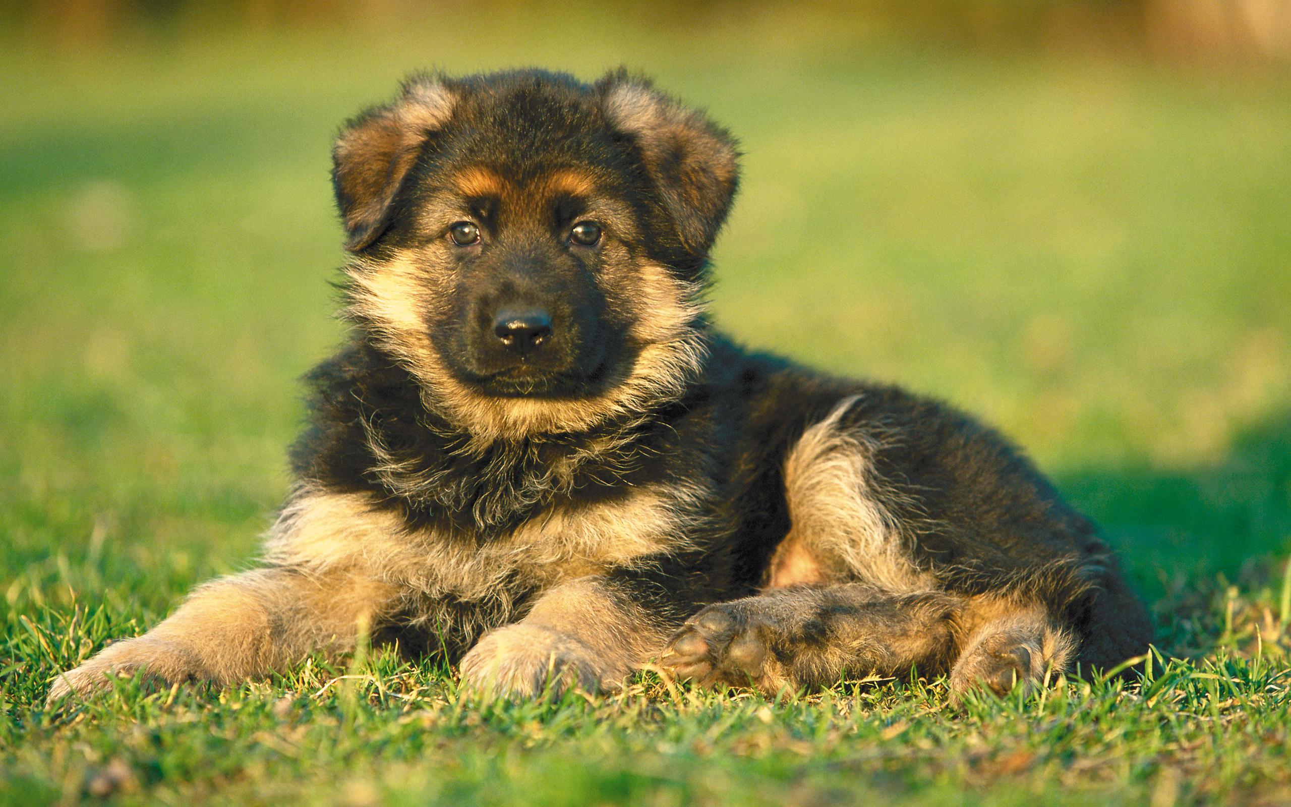 картинки собак овчарок немецких щенков фото, оно