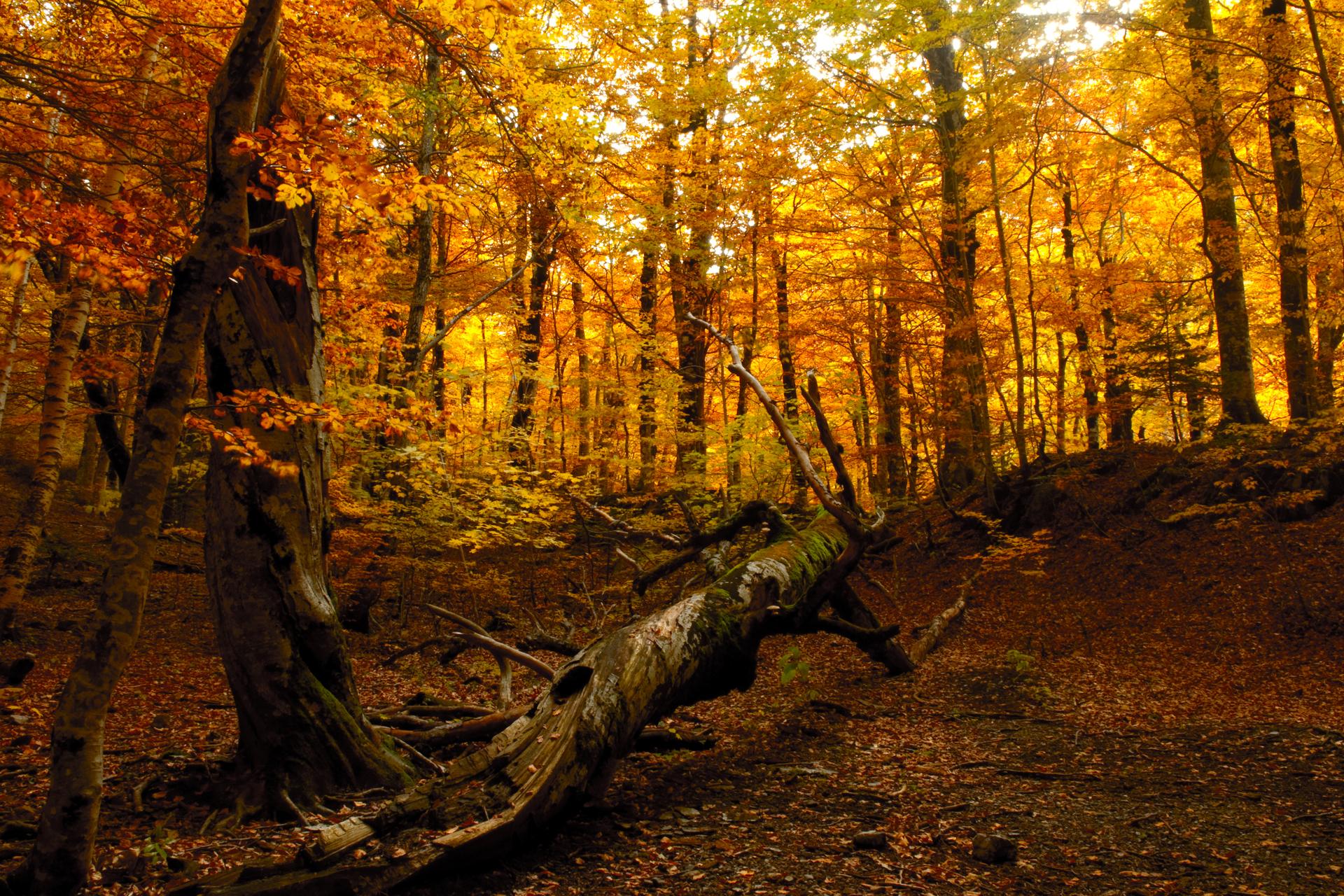 Сосну, картинки осенний лес на рабочий стол