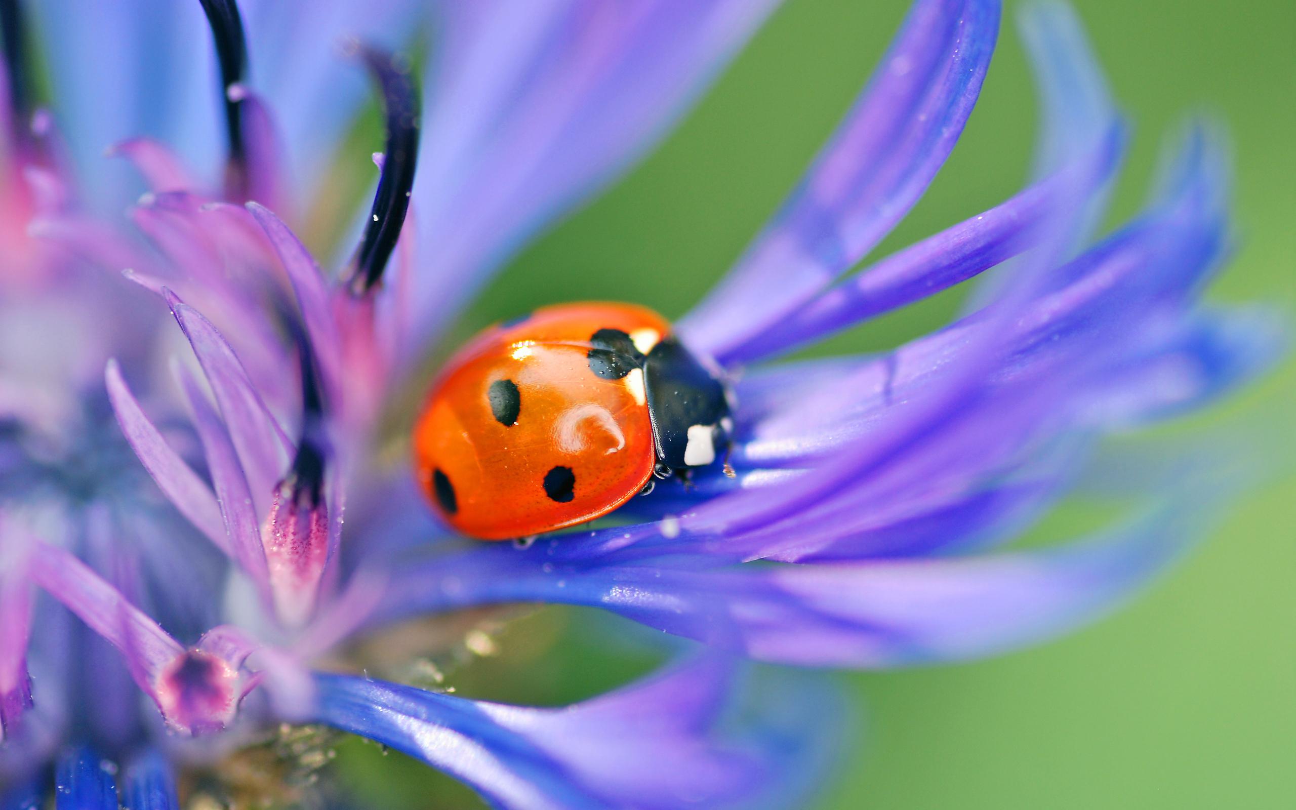 природа насекомое божья коровка цветок  № 3008035  скачать