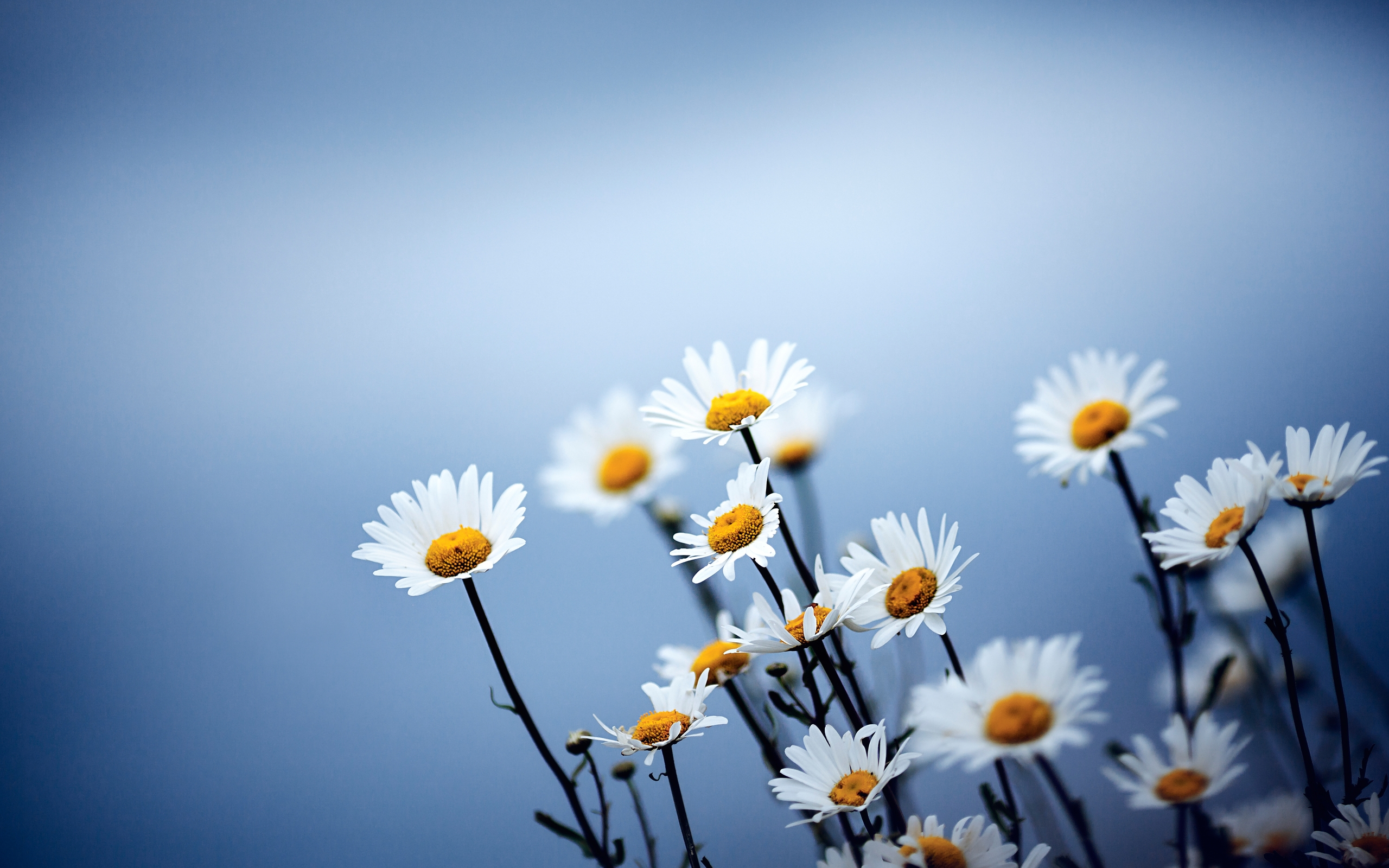 ромашка цветы фокус  № 1096407 загрузить