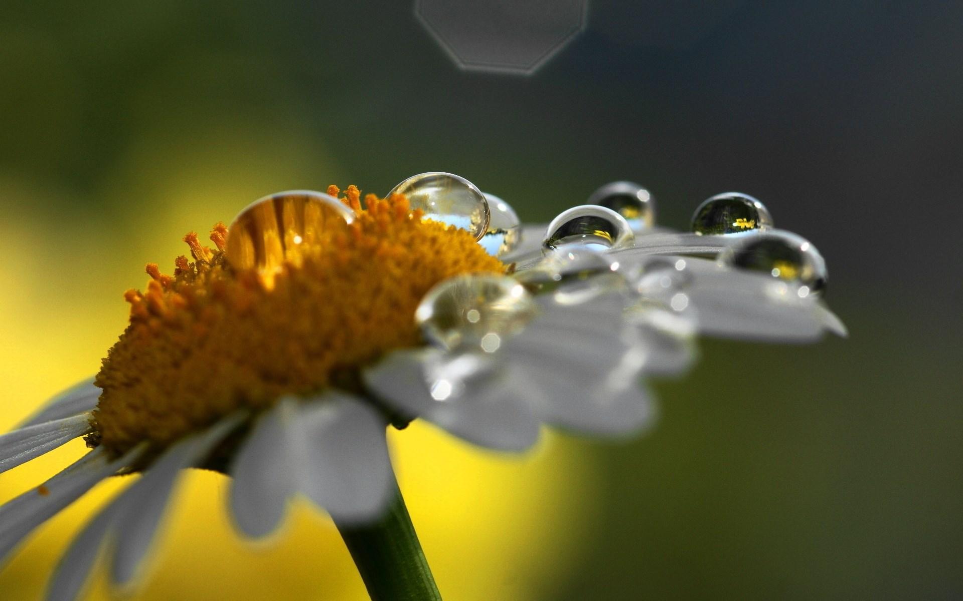 ромашка макро цветы загрузить