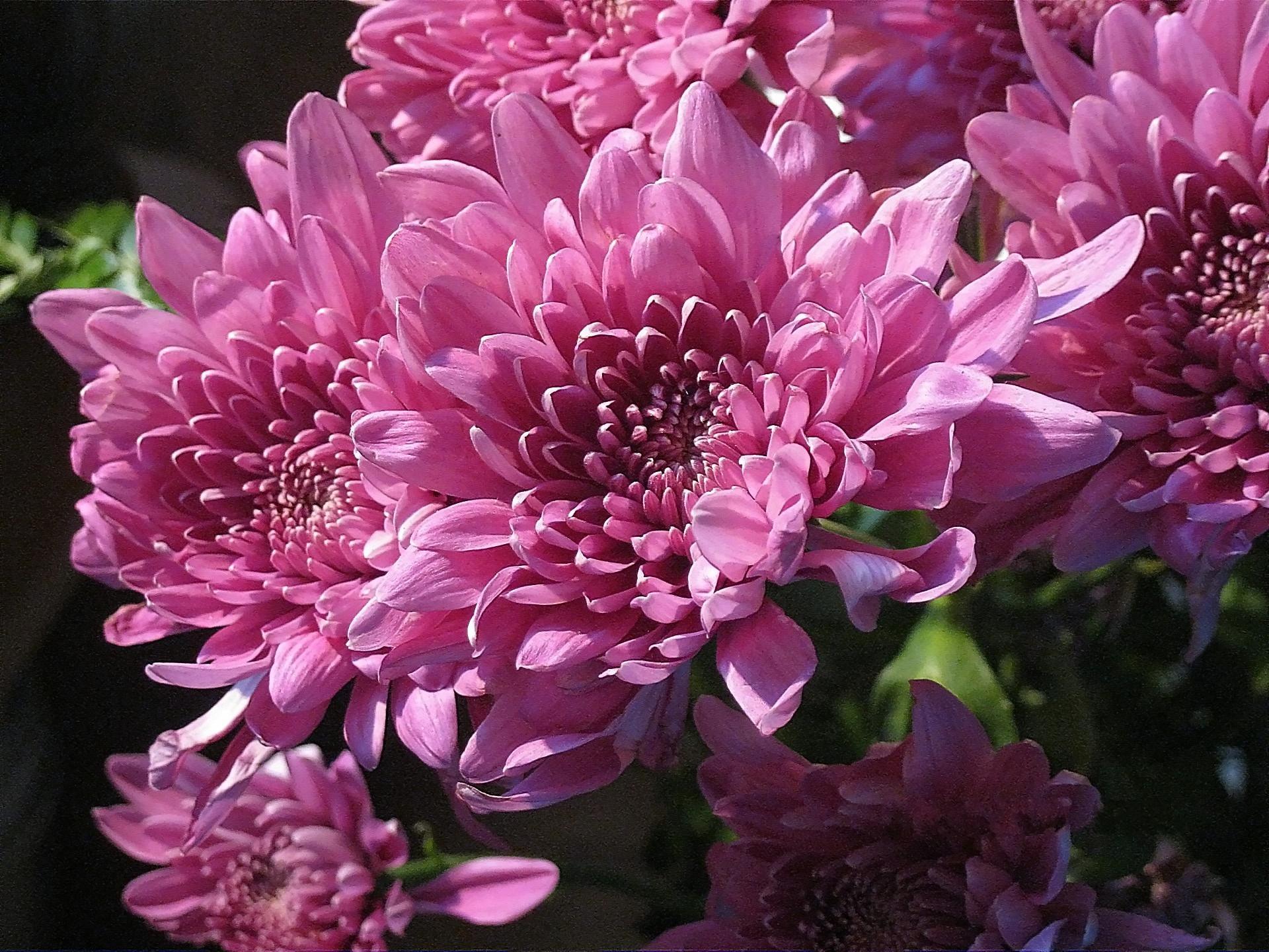 хризантема цветы  № 1353181 загрузить