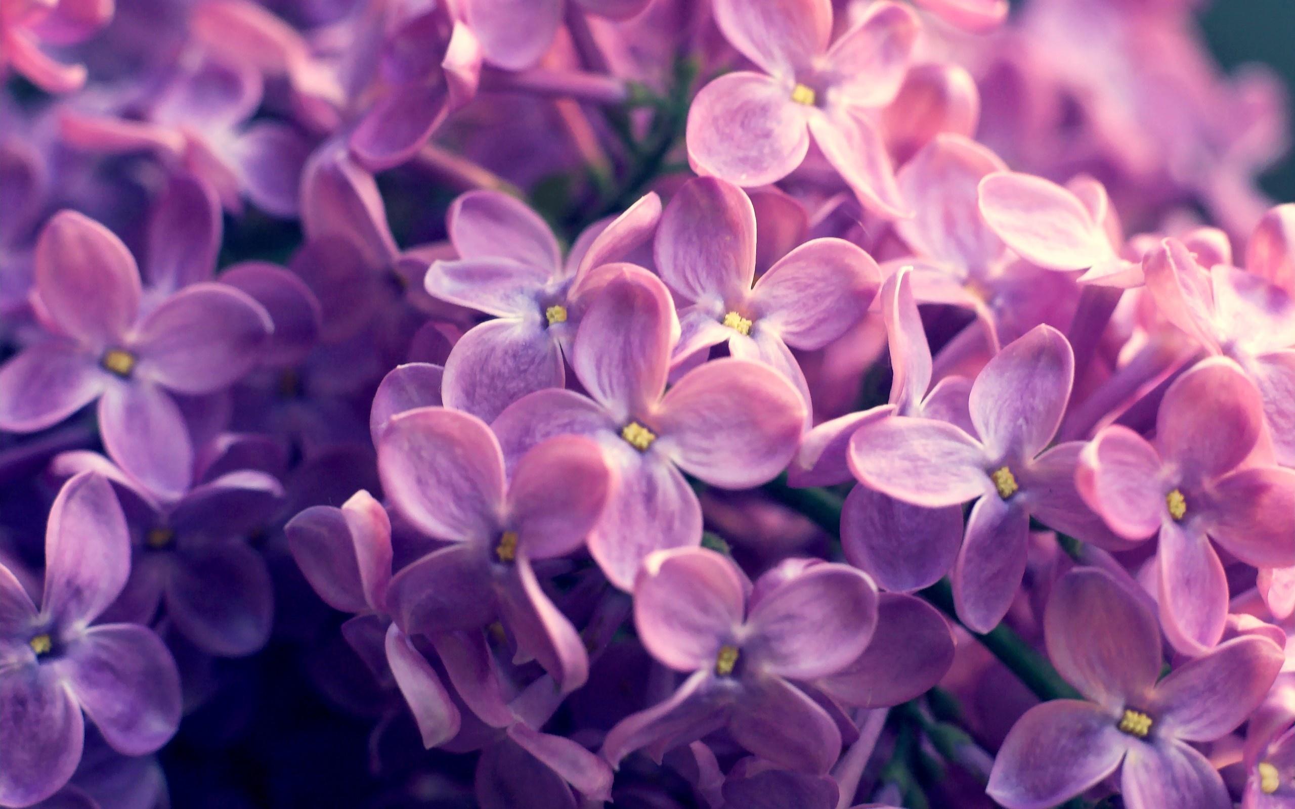 цветы природа сирень  № 2224132 бесплатно