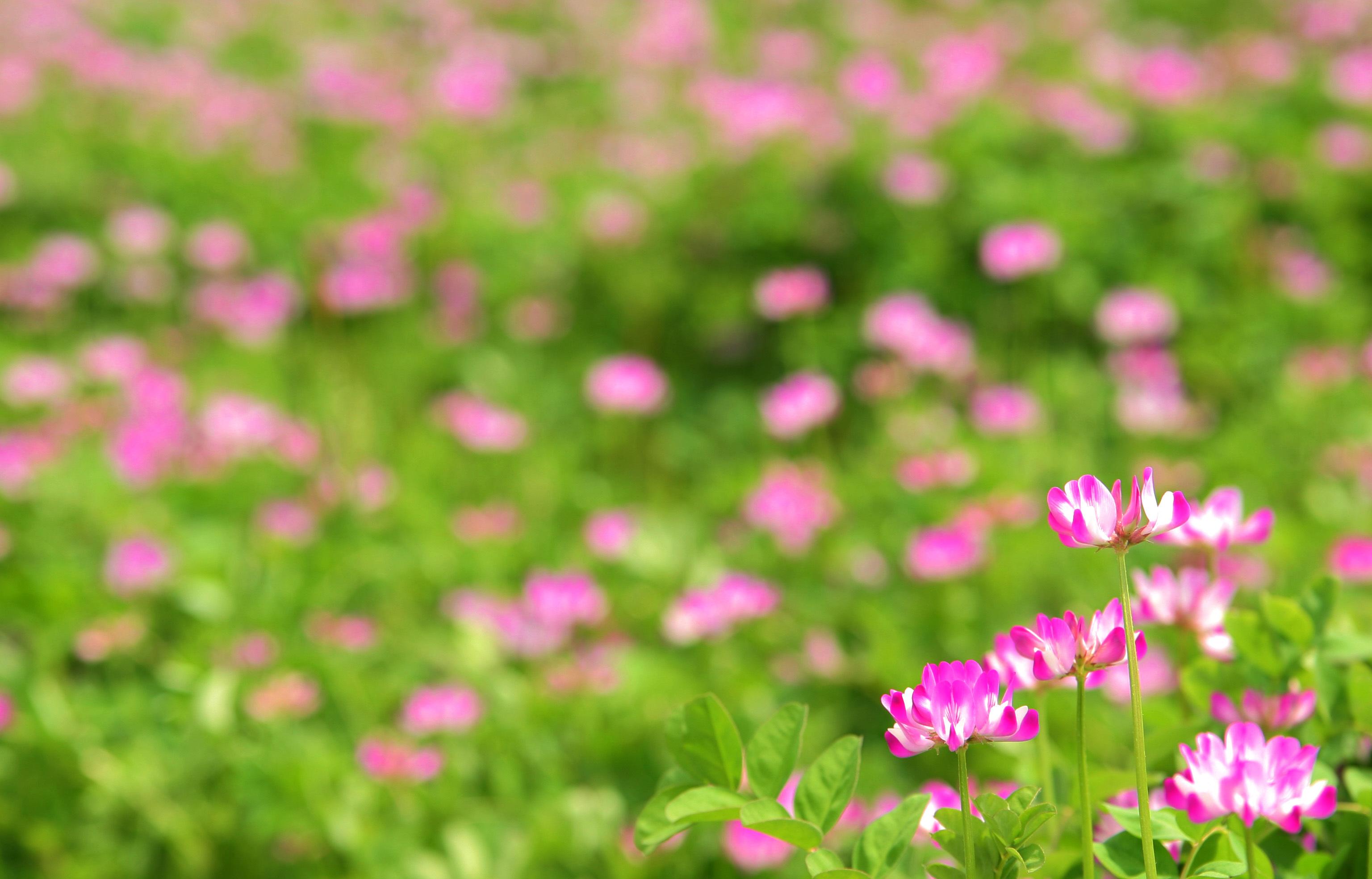 Цветы клевер  № 1341240 бесплатно