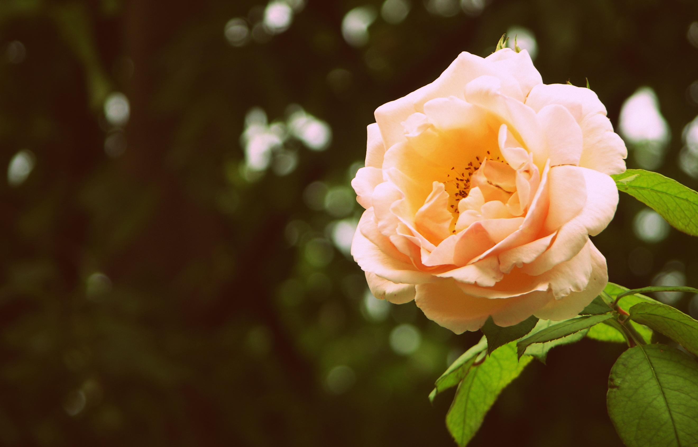 роза, лепестки, листья без смс