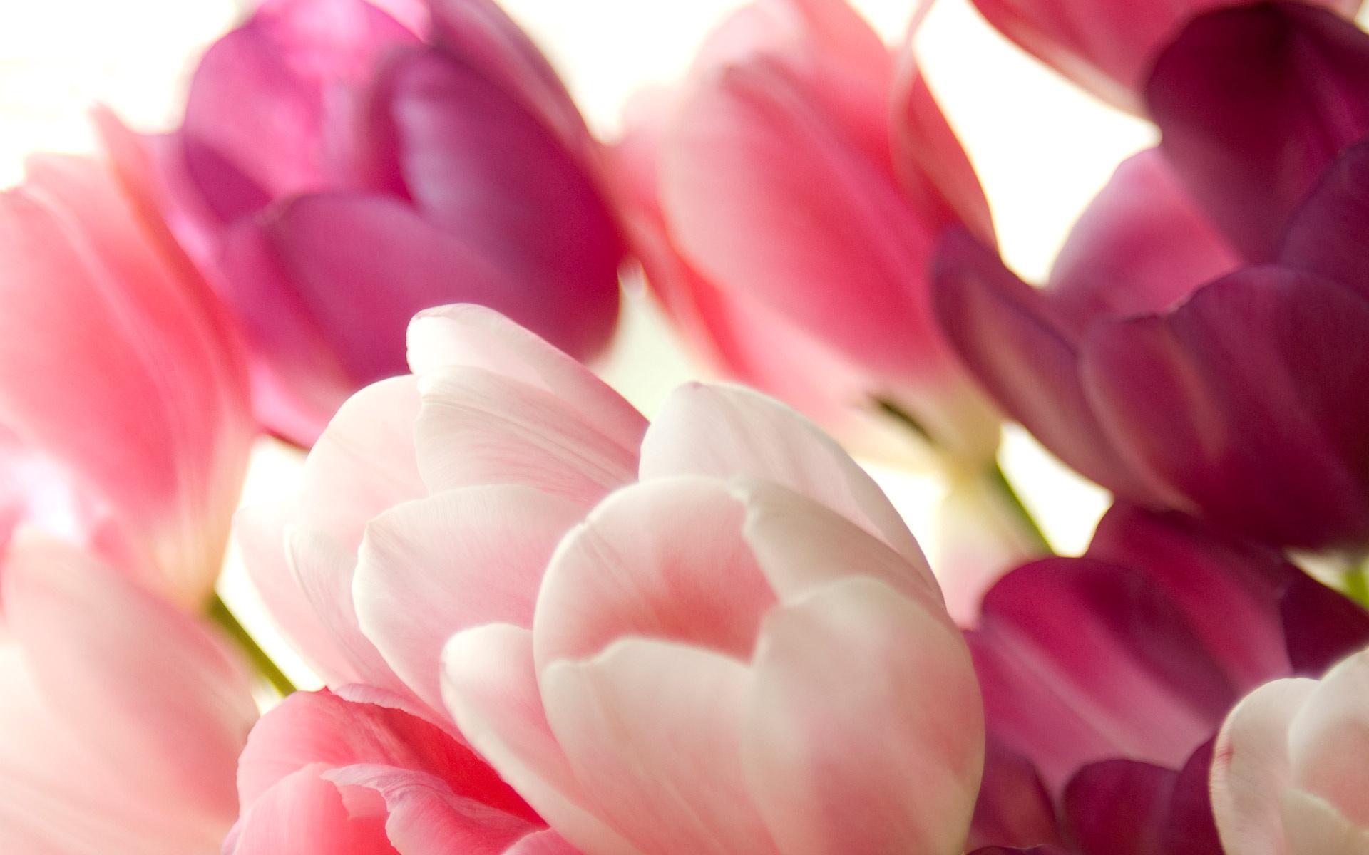 розово-белые цветы загрузить