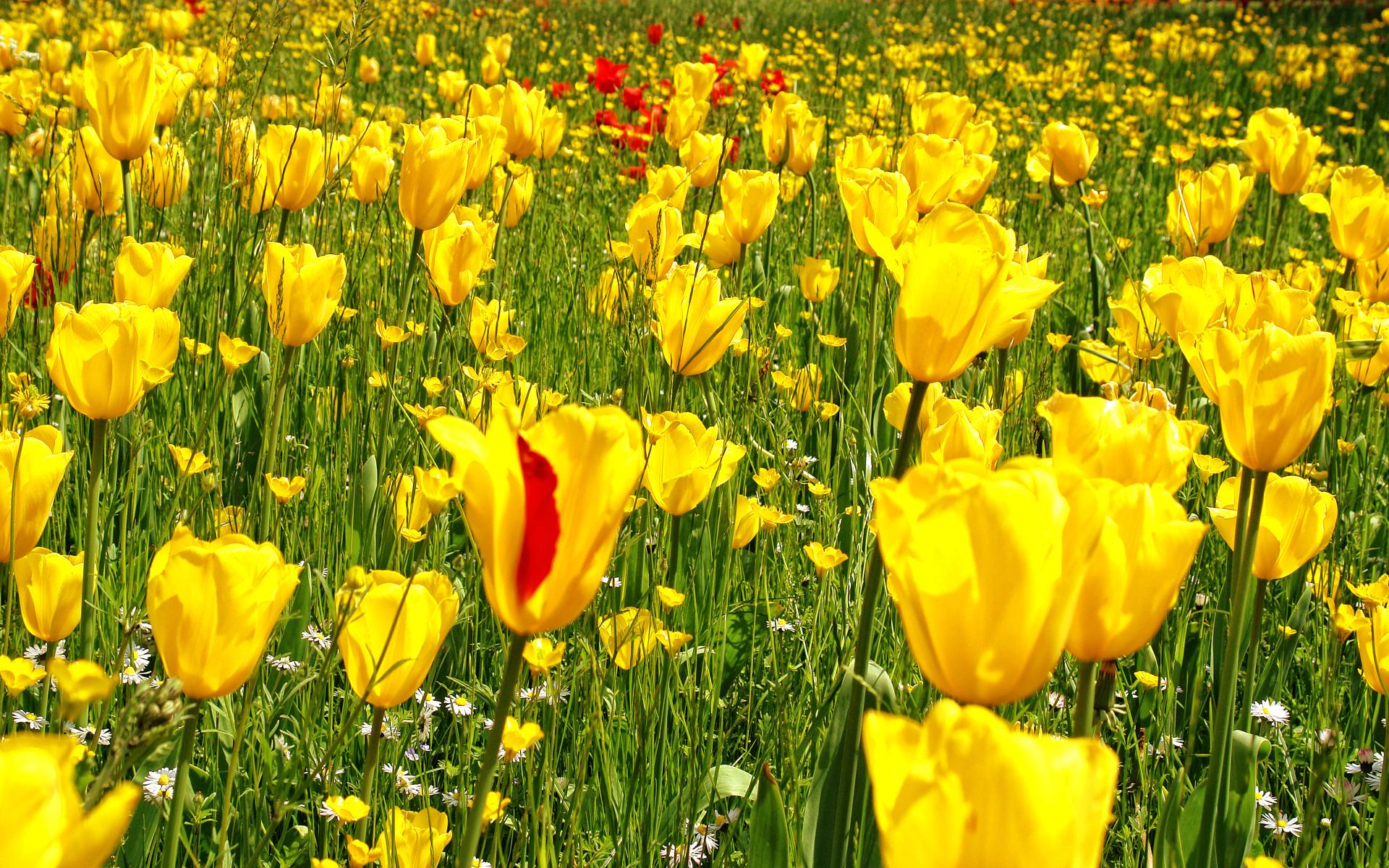 сложное переплетение полевые желтые тюльпаны фото действительности если увлечены