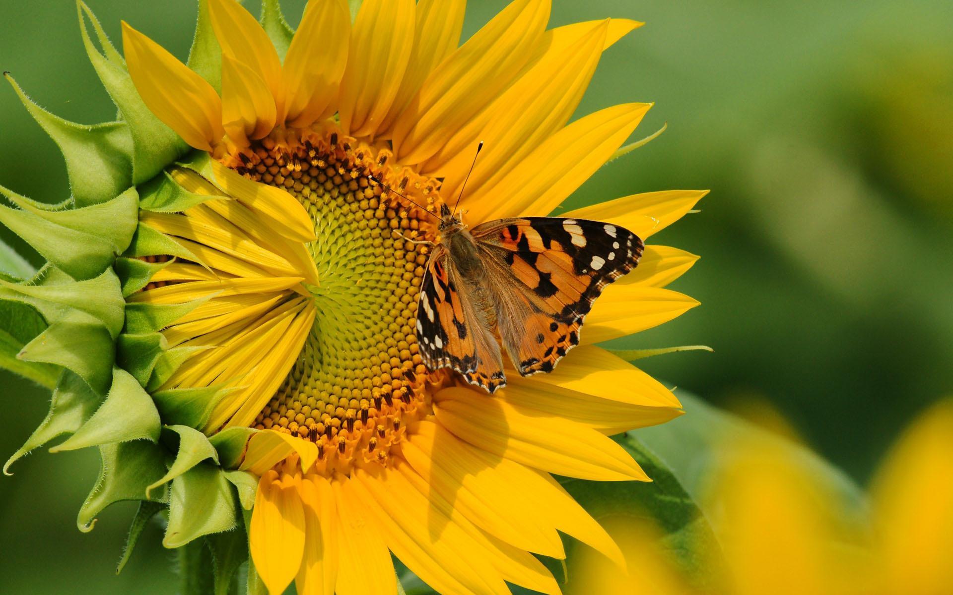 цветы,желтые,бабочка  № 664914 бесплатно