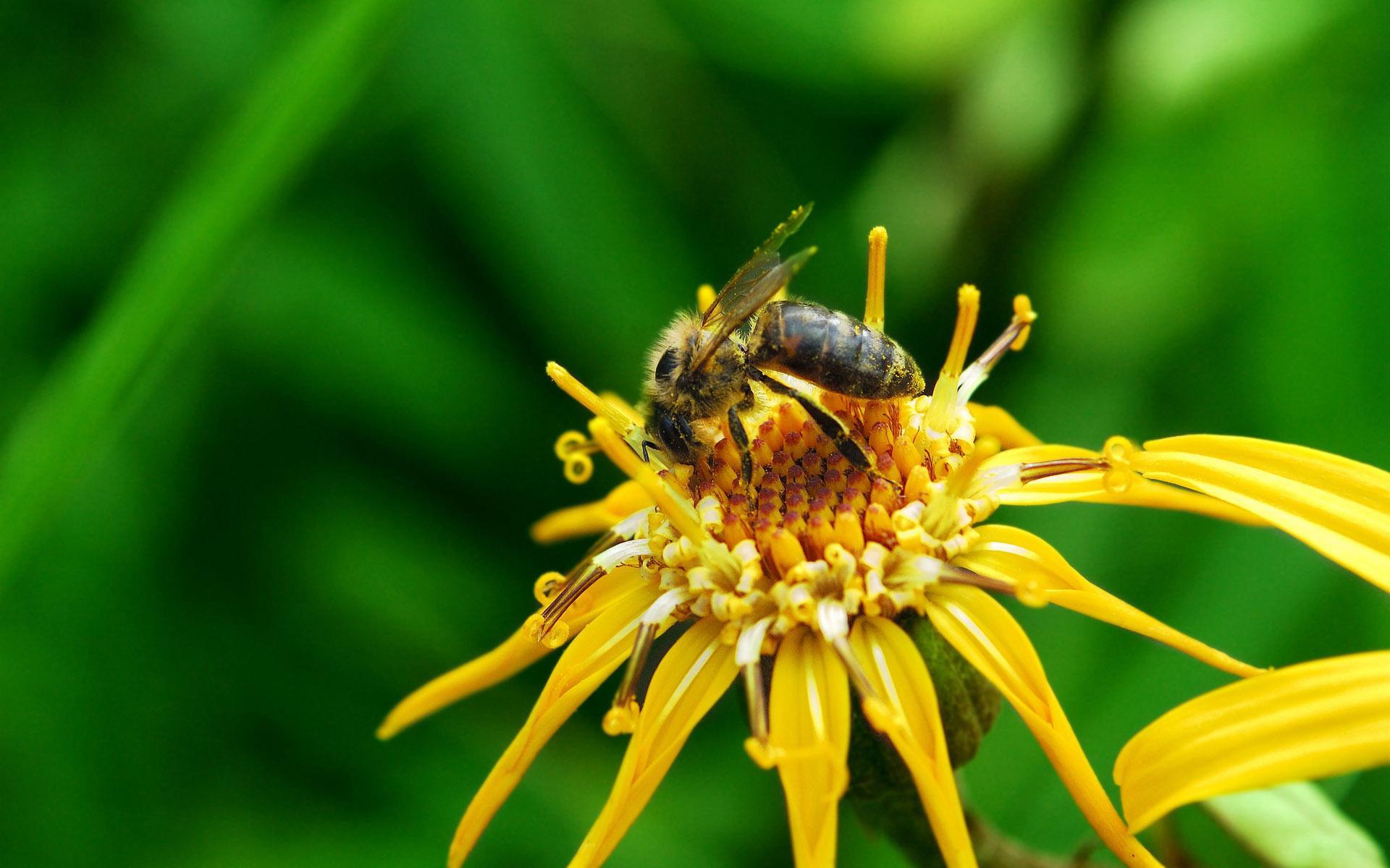 макро одуванчик животное насекомое пчела цветы природа  № 3007351  скачать