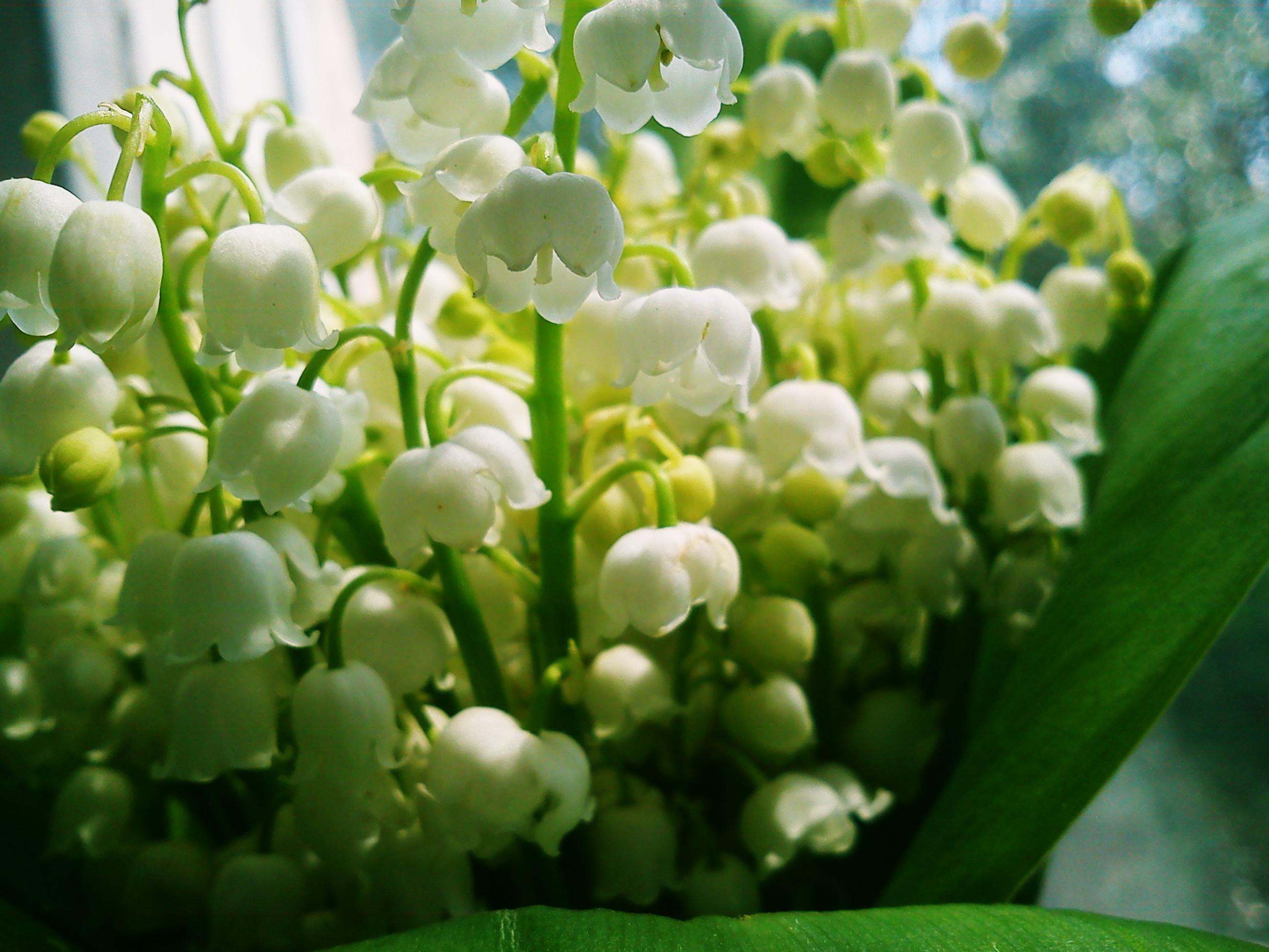 Цветы белые ландыши  № 1608739  скачать