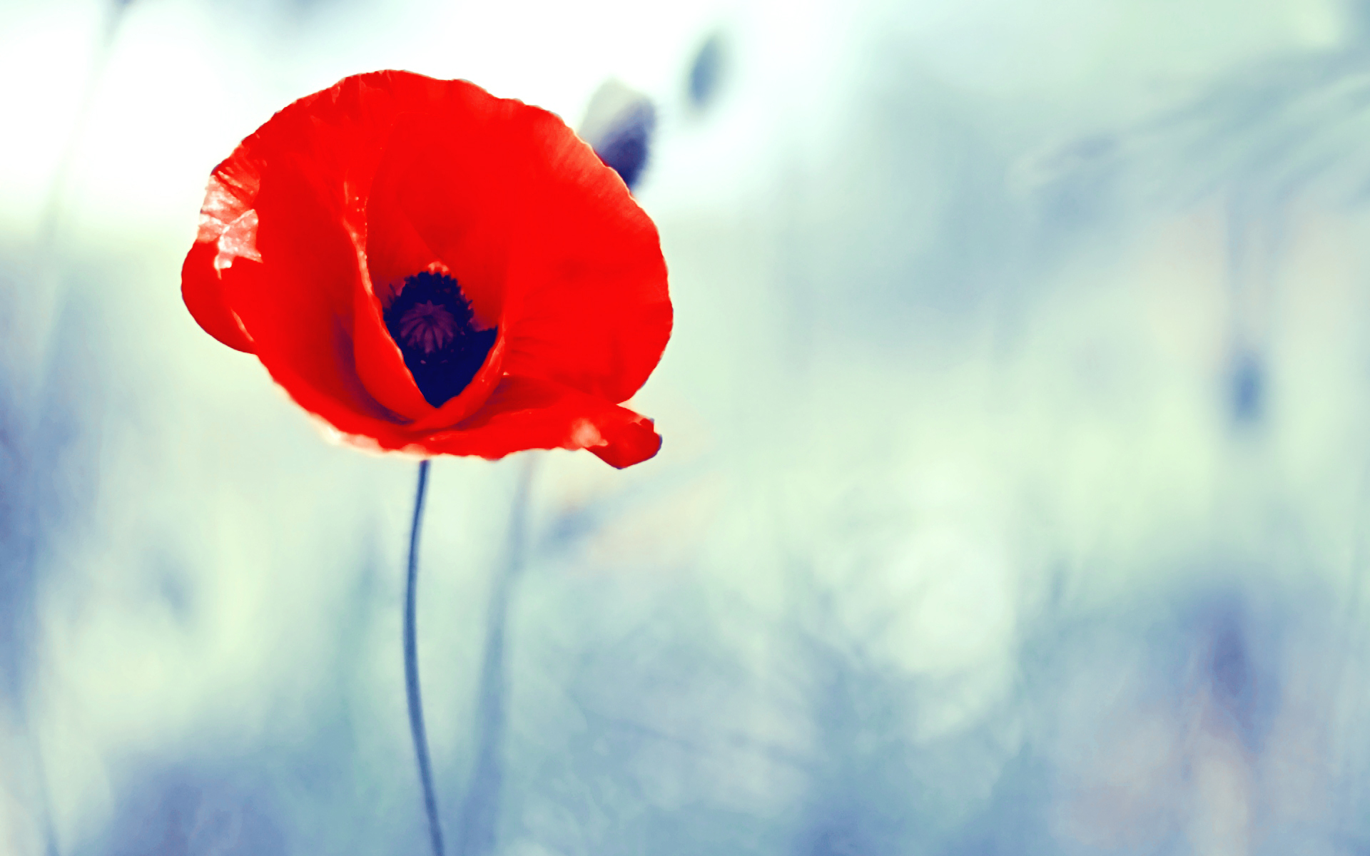 poppy red background - photo #10