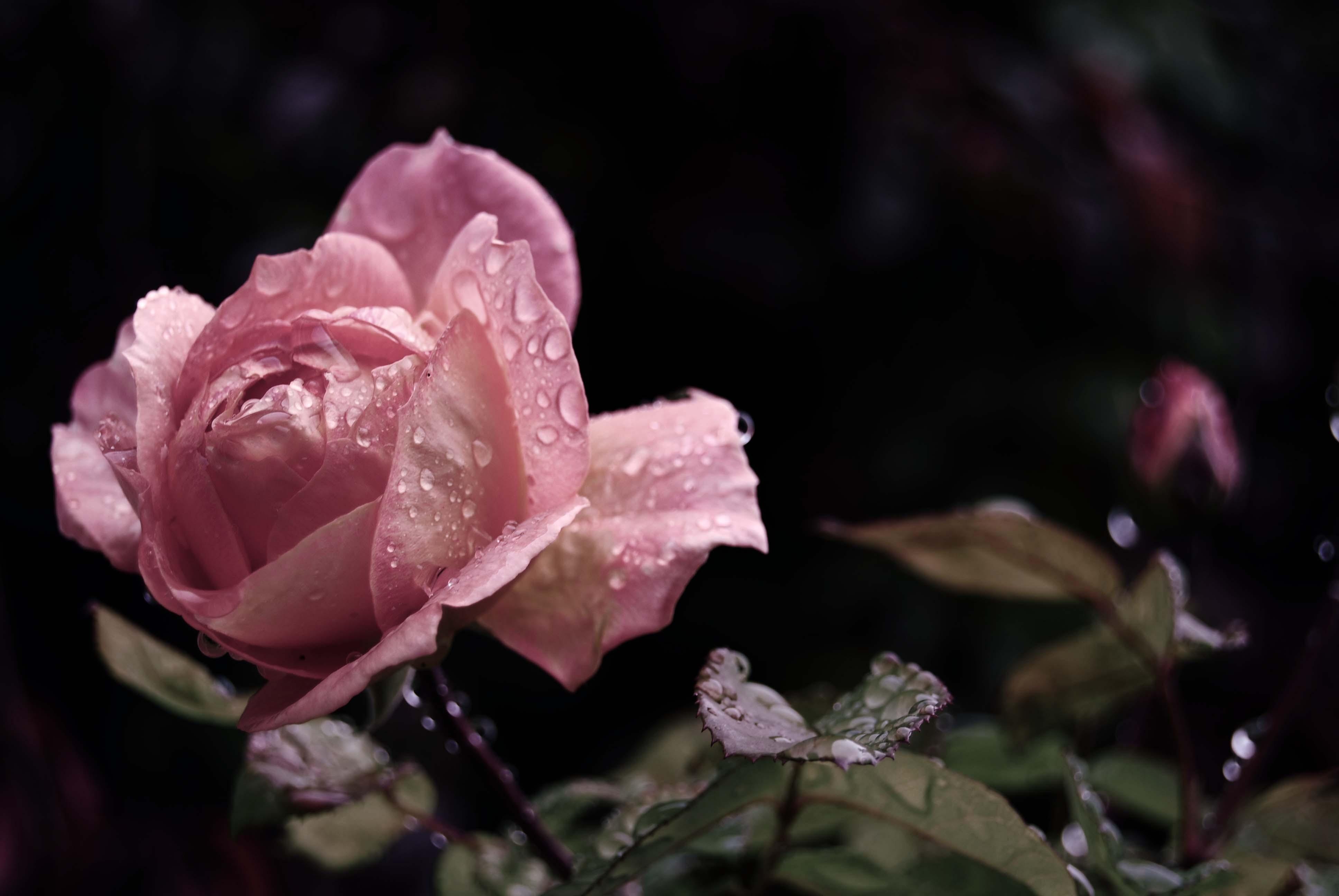 розы капли бутоны бесплатно