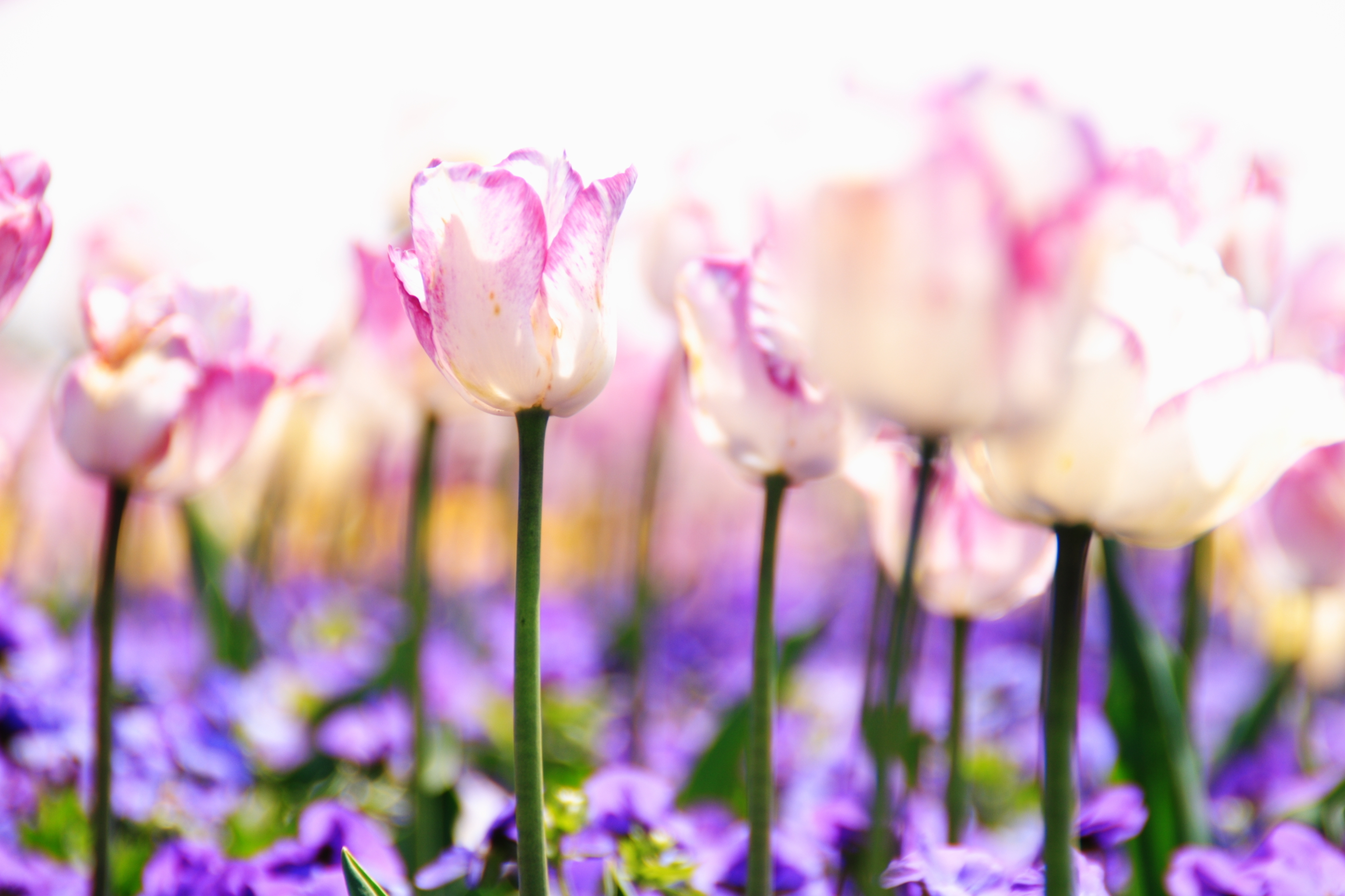 розово-белые цветы без смс
