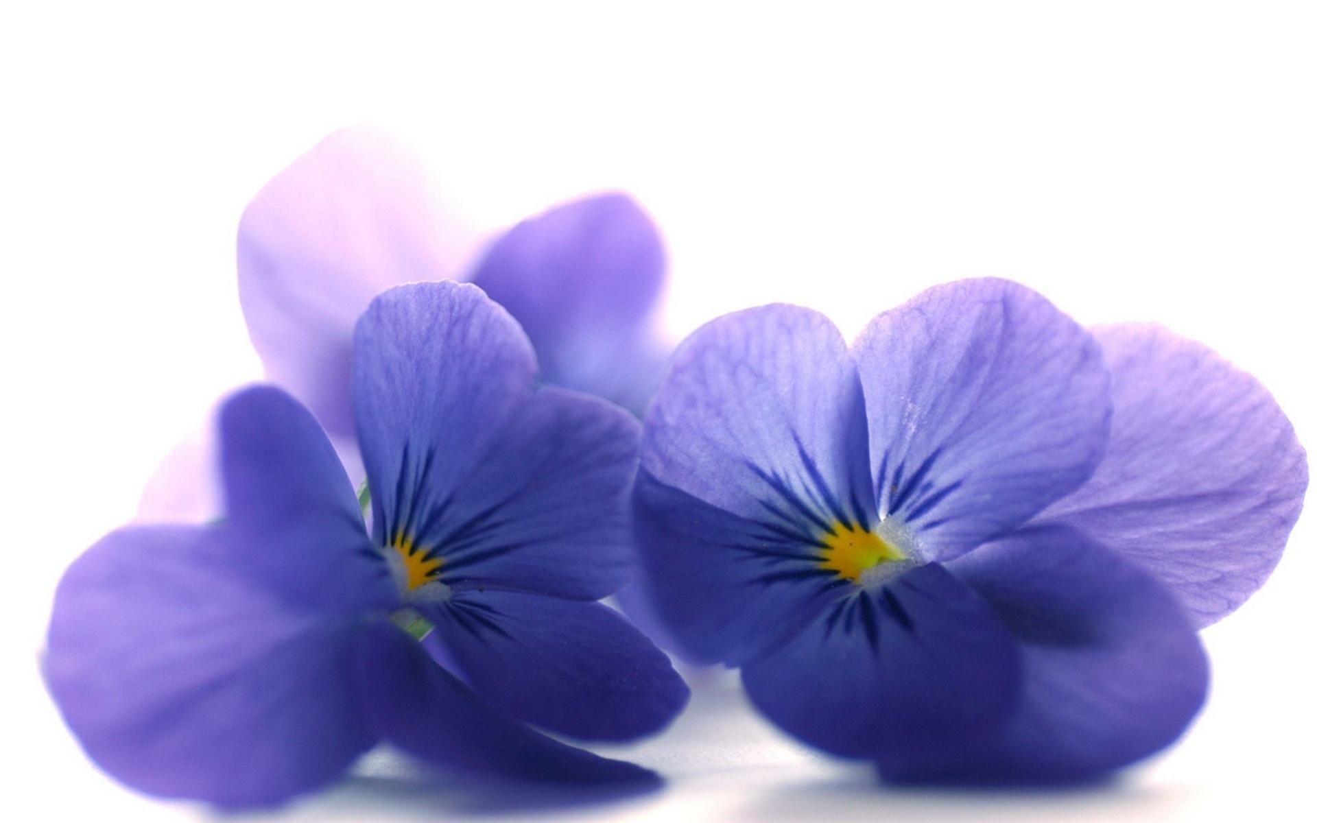 цветы синие белые загрузить