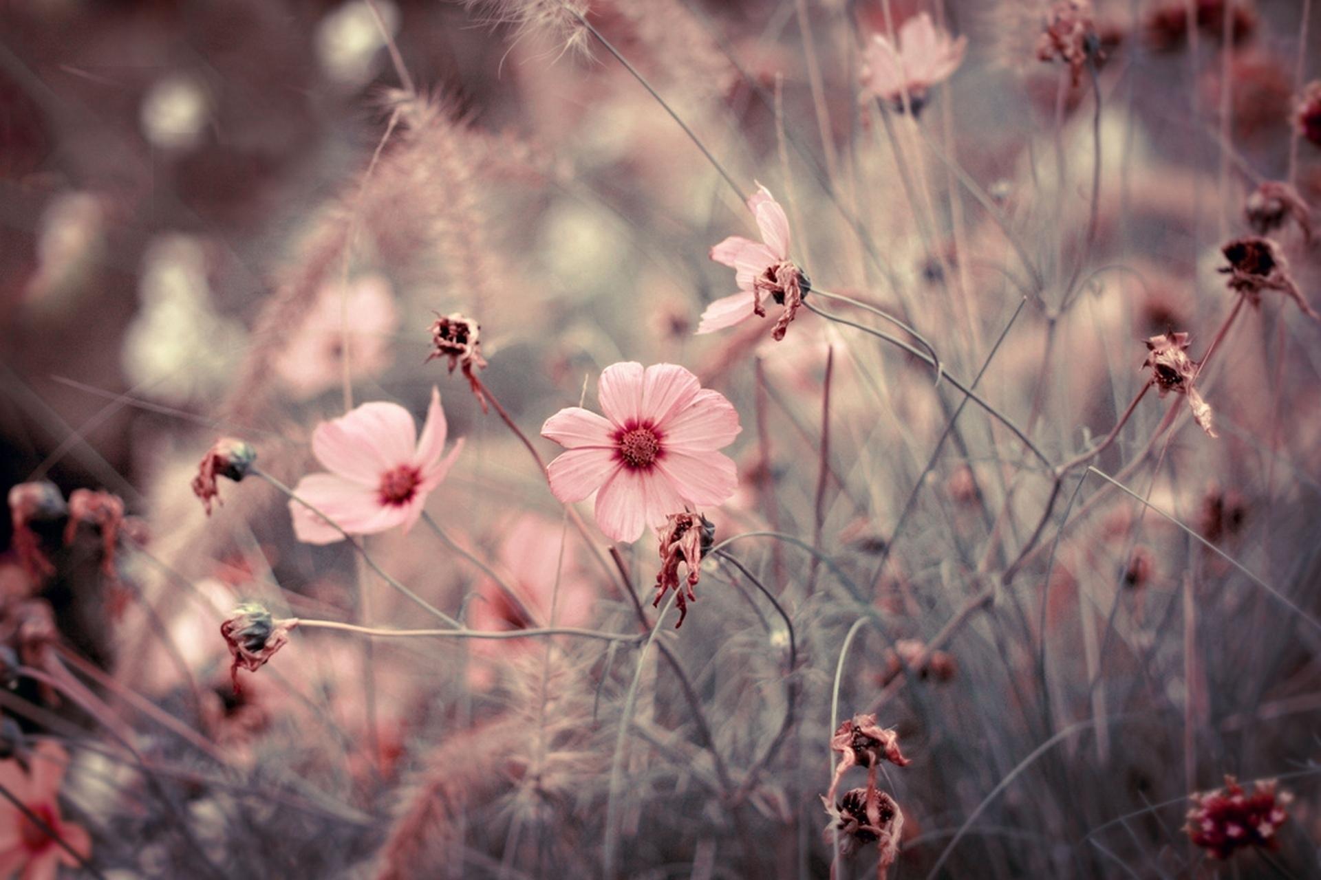 цветы макро розовые  № 1347173 бесплатно