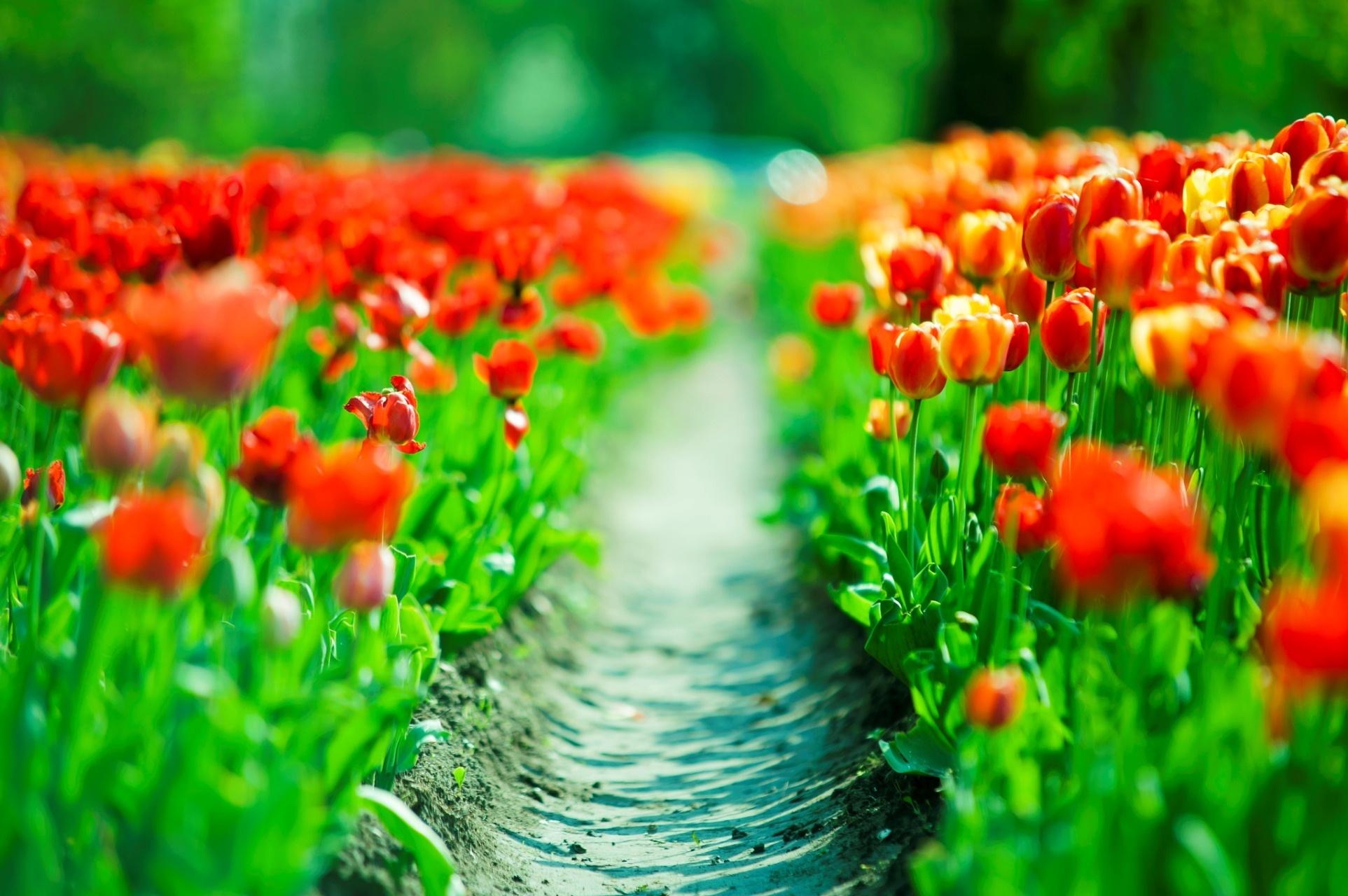 поляна цветы тюльпаны небо деревья без смс