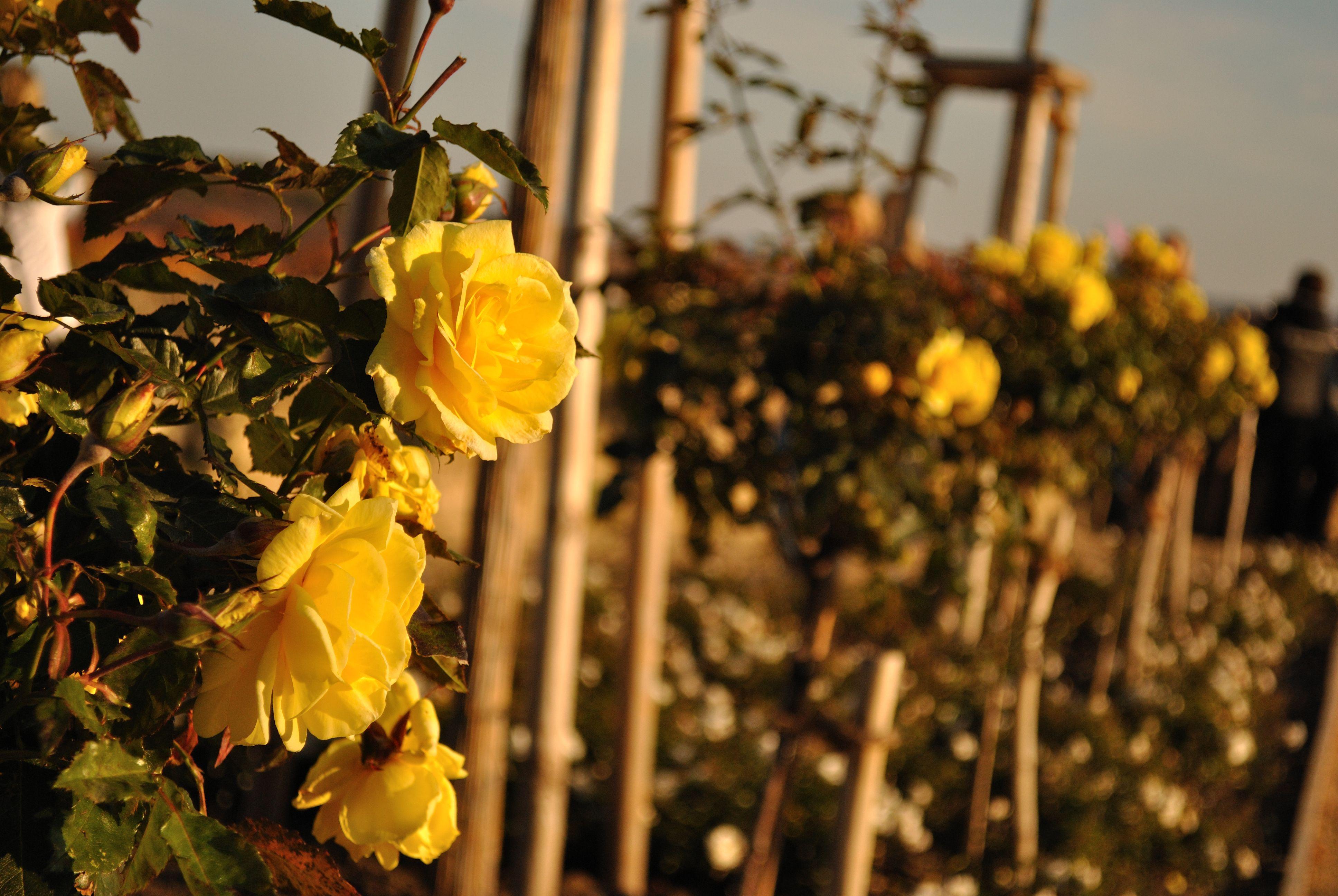 природа цветы желтые розы nature flowers yellow rose без смс