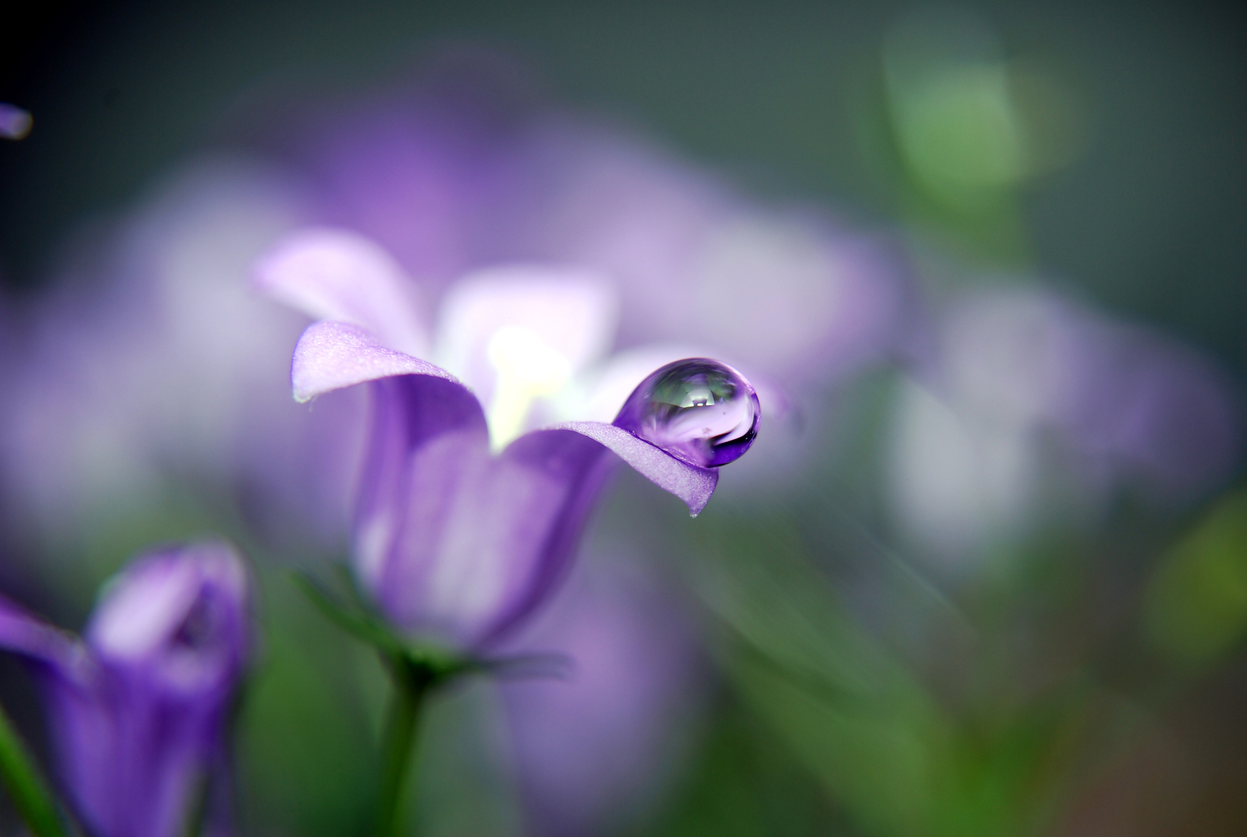 капля макро цветок  № 2540764 без смс