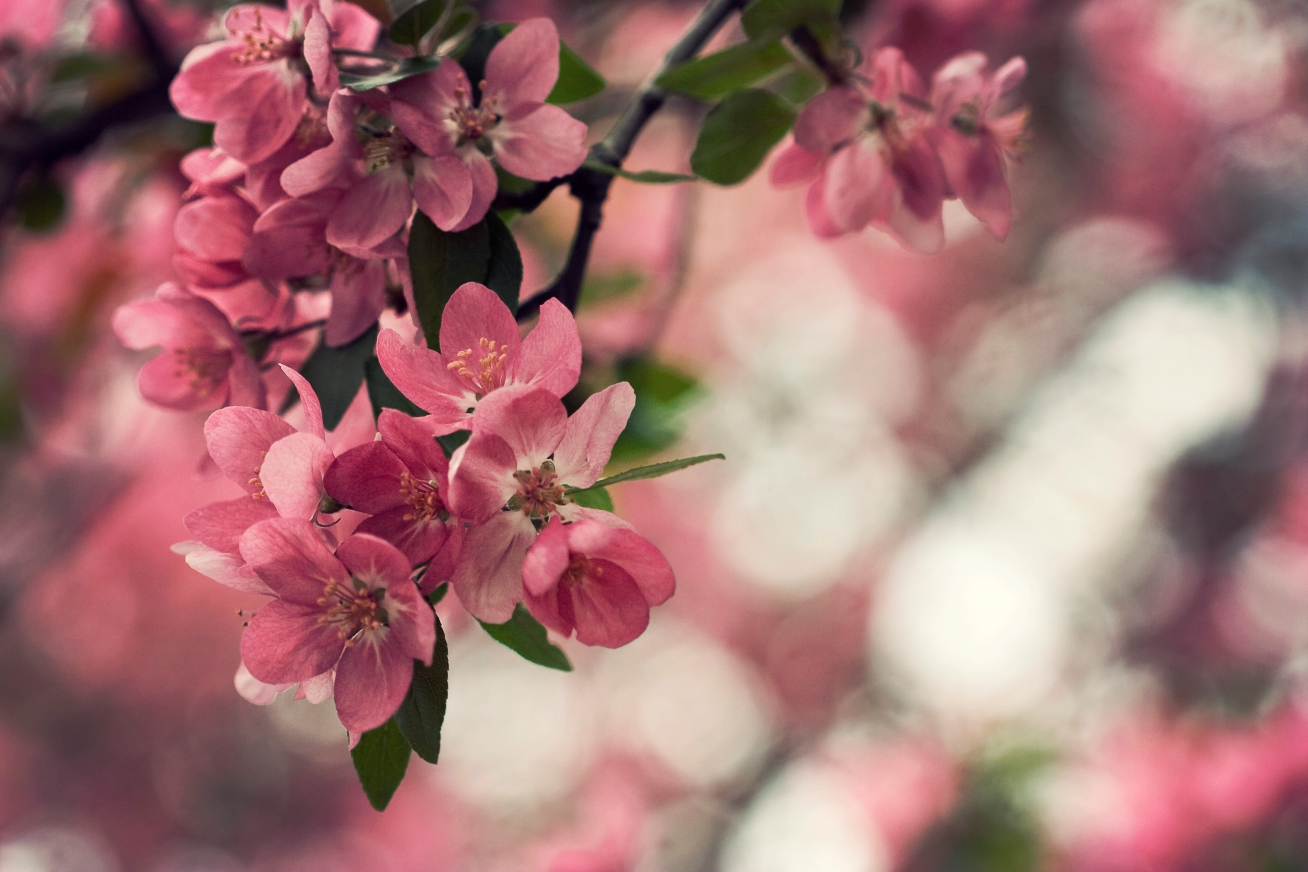 цветение весна розовые цветы скачать