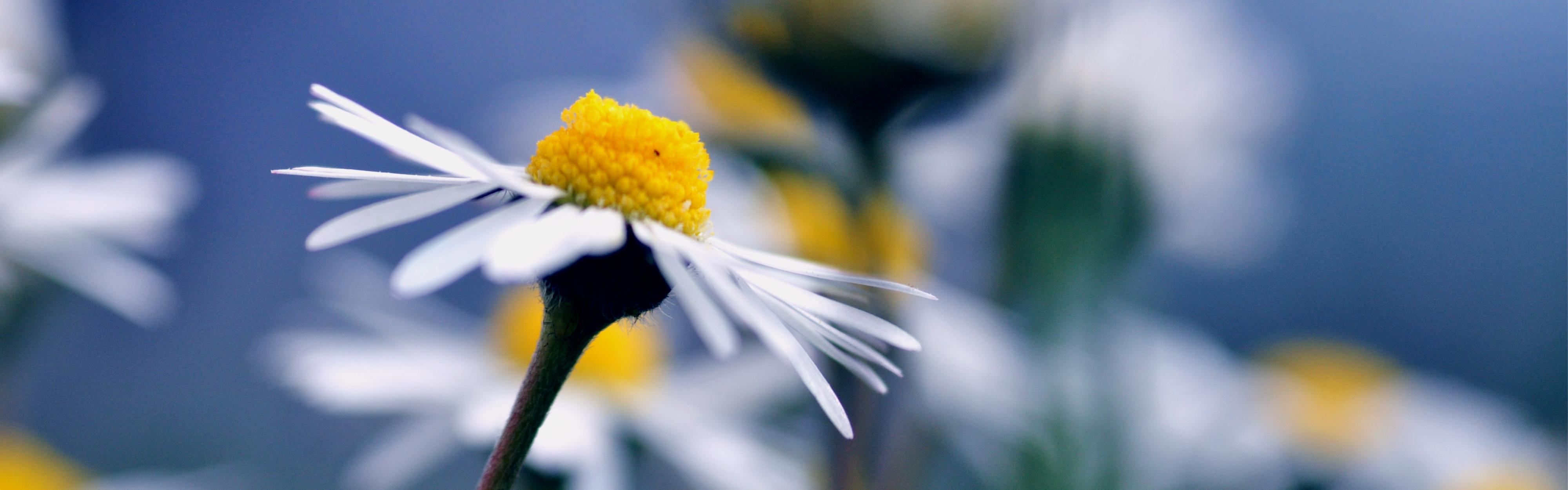 синий цветок ромашка макро без смс