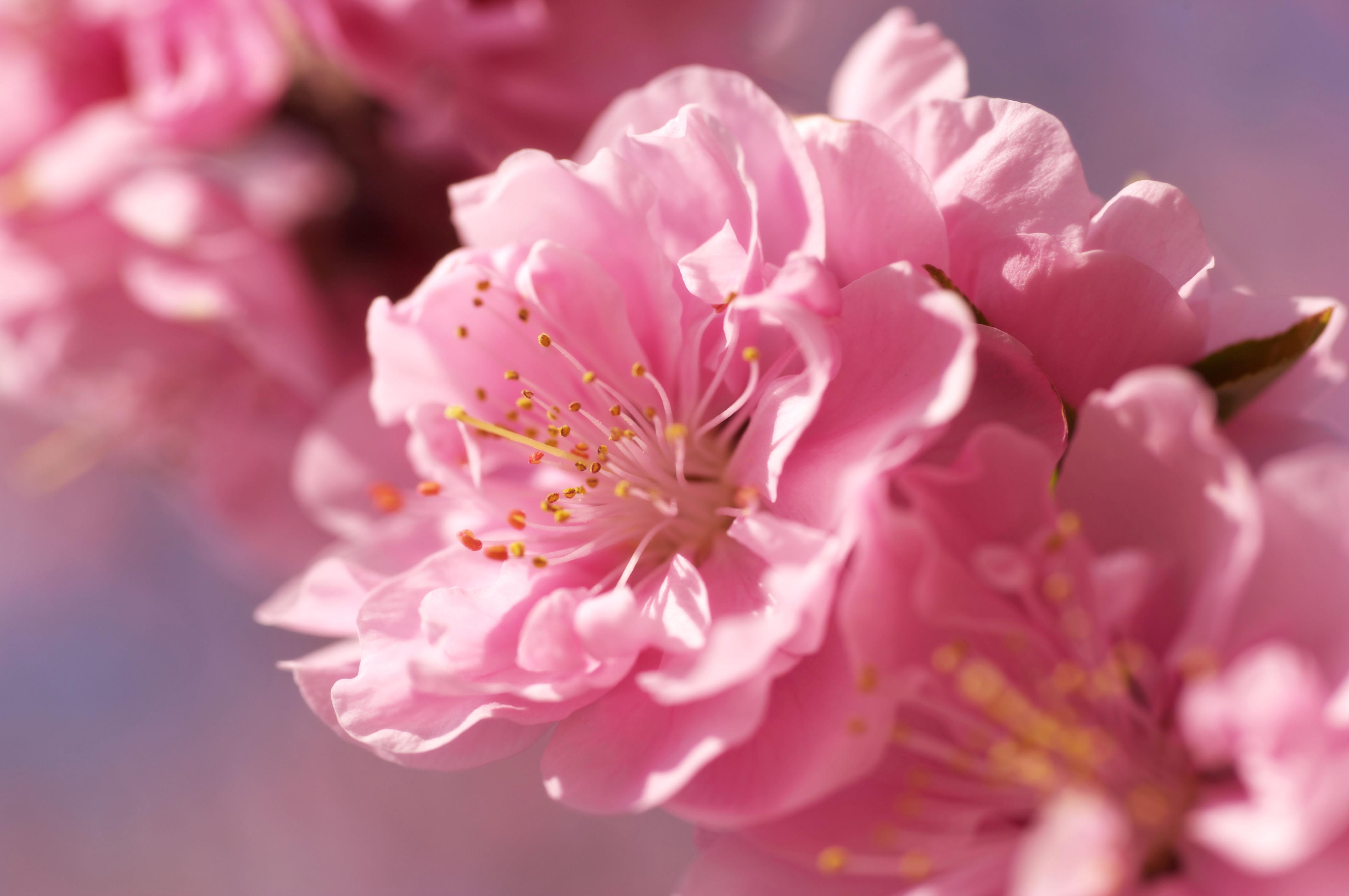 Цветение сакуры фото высокого разрешения - King Sport