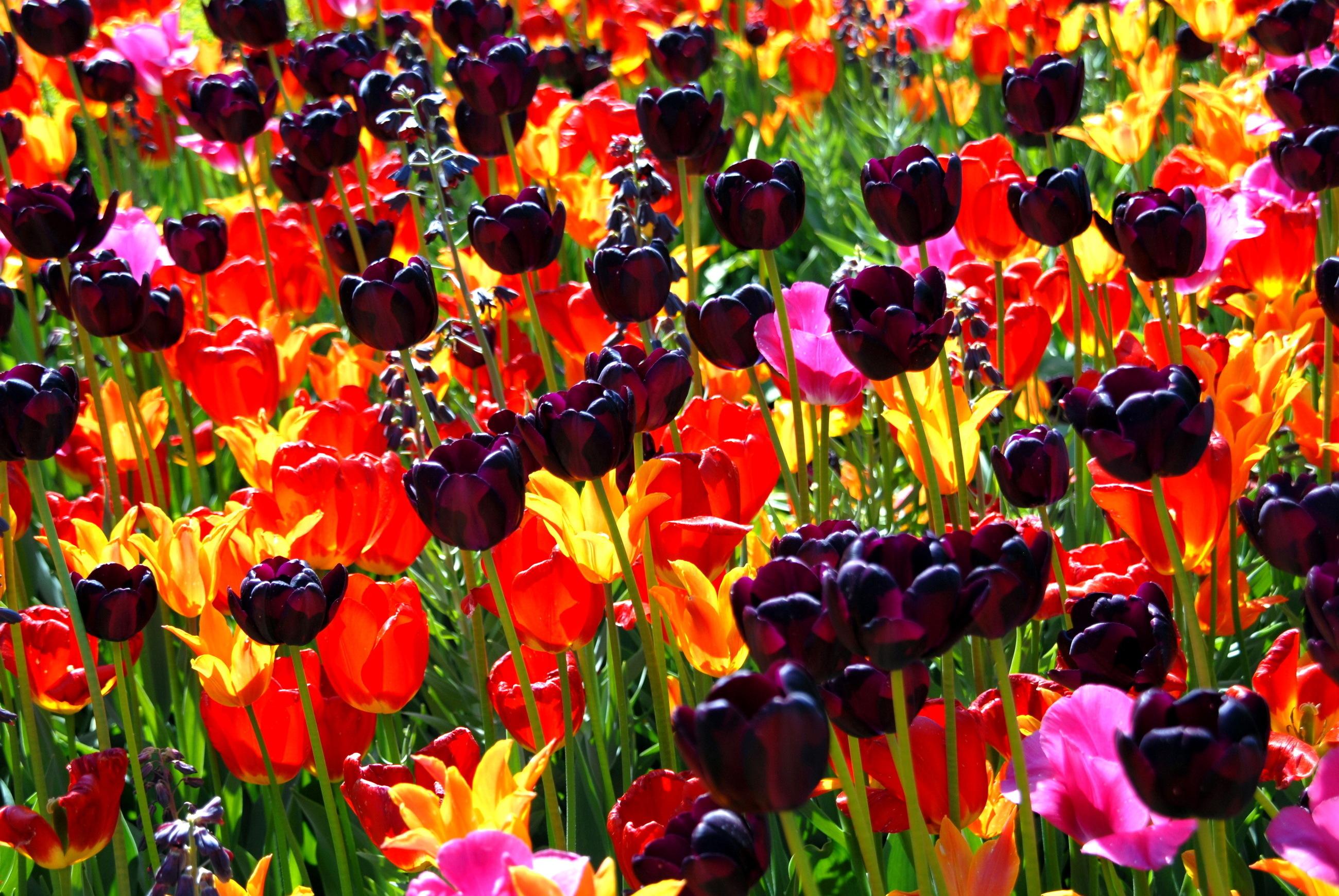 тюльпаны клумба  № 1349384 без смс