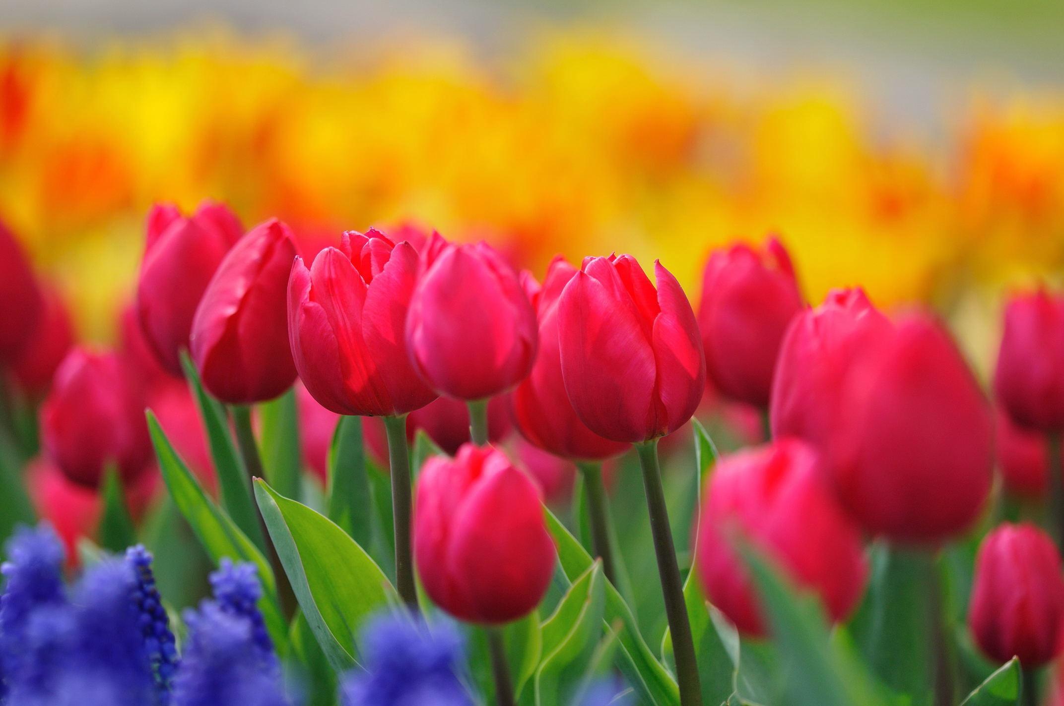 тюльпаны краски бесплатно