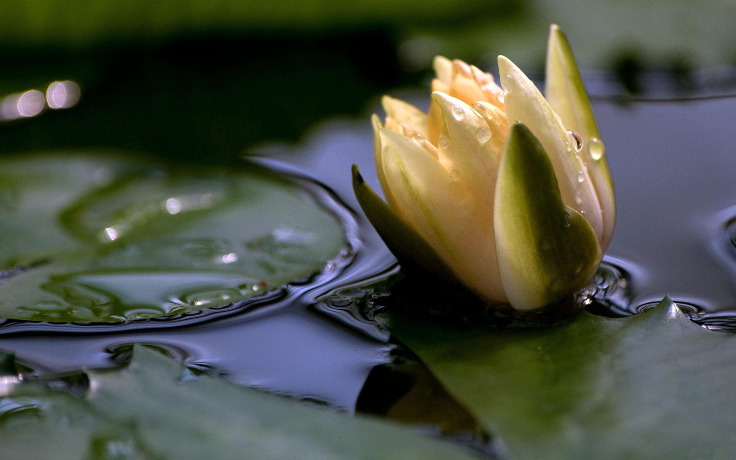 листок капля желтый на воде  № 2777394 загрузить