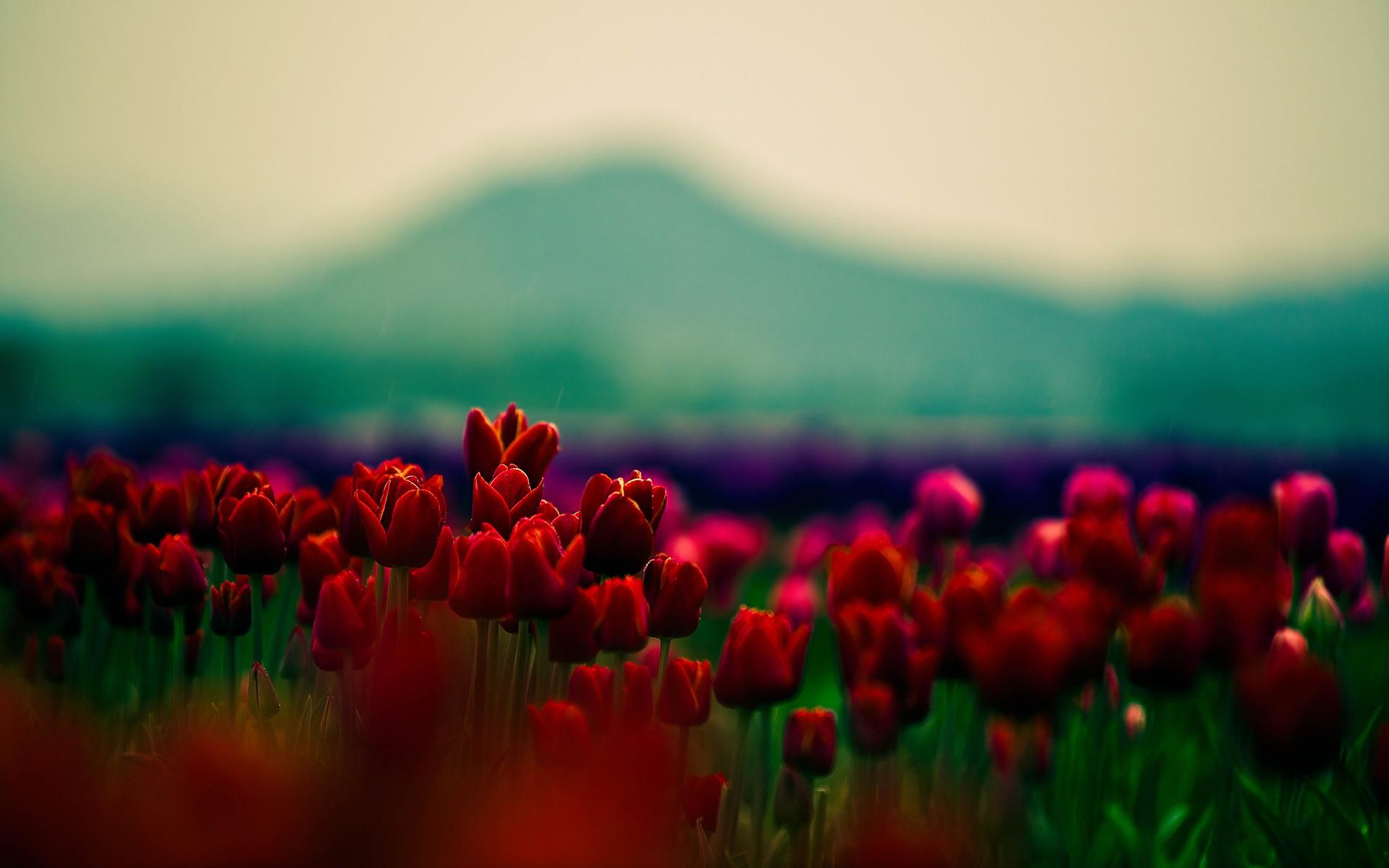 природа цветы красный бесплатно