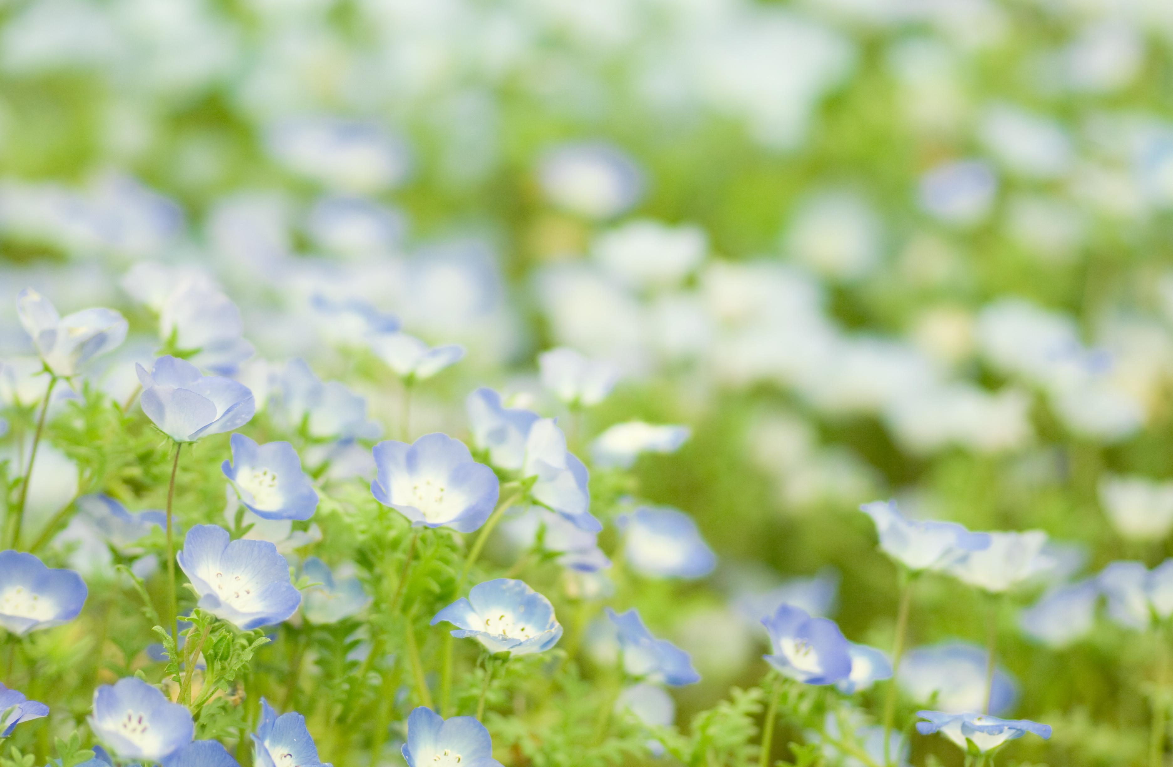 природа цветы голубые  № 1334484 без смс