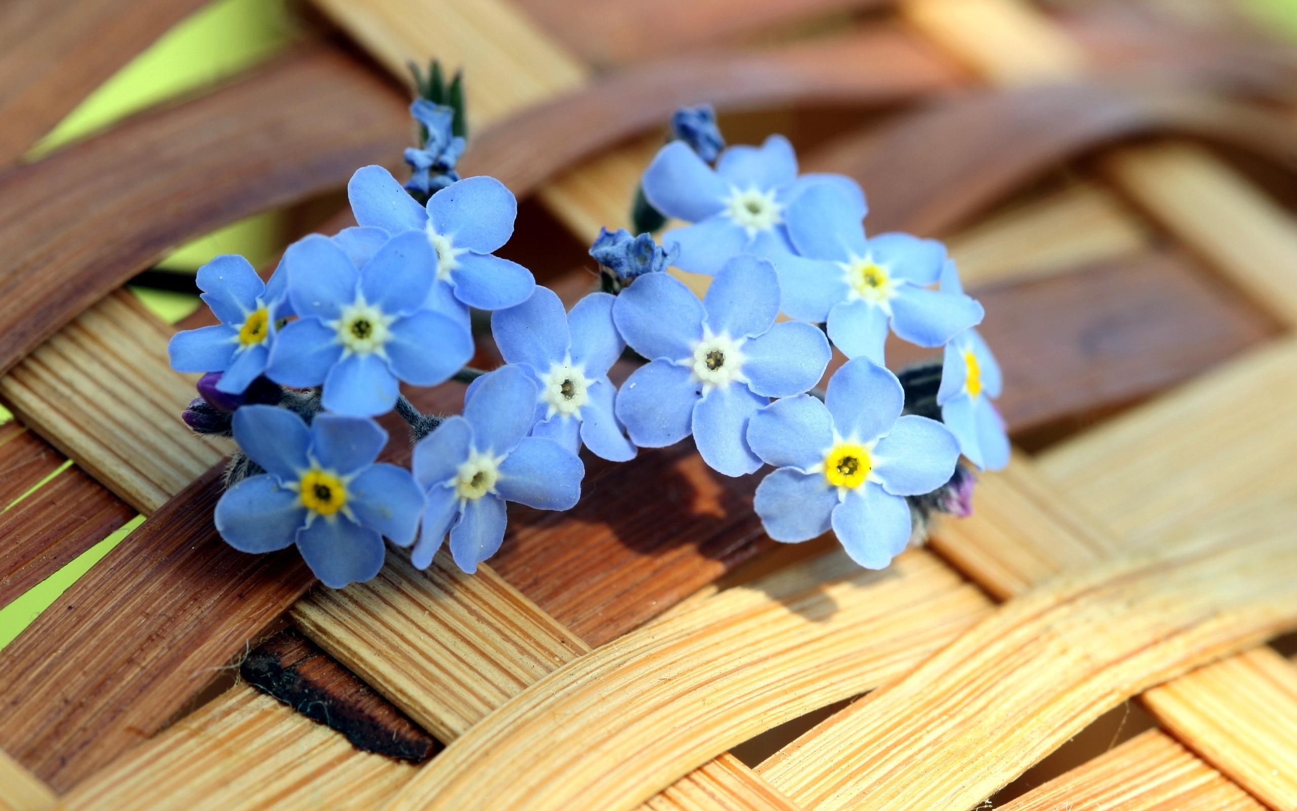 Цветы голубые незабудки  № 1334089 бесплатно