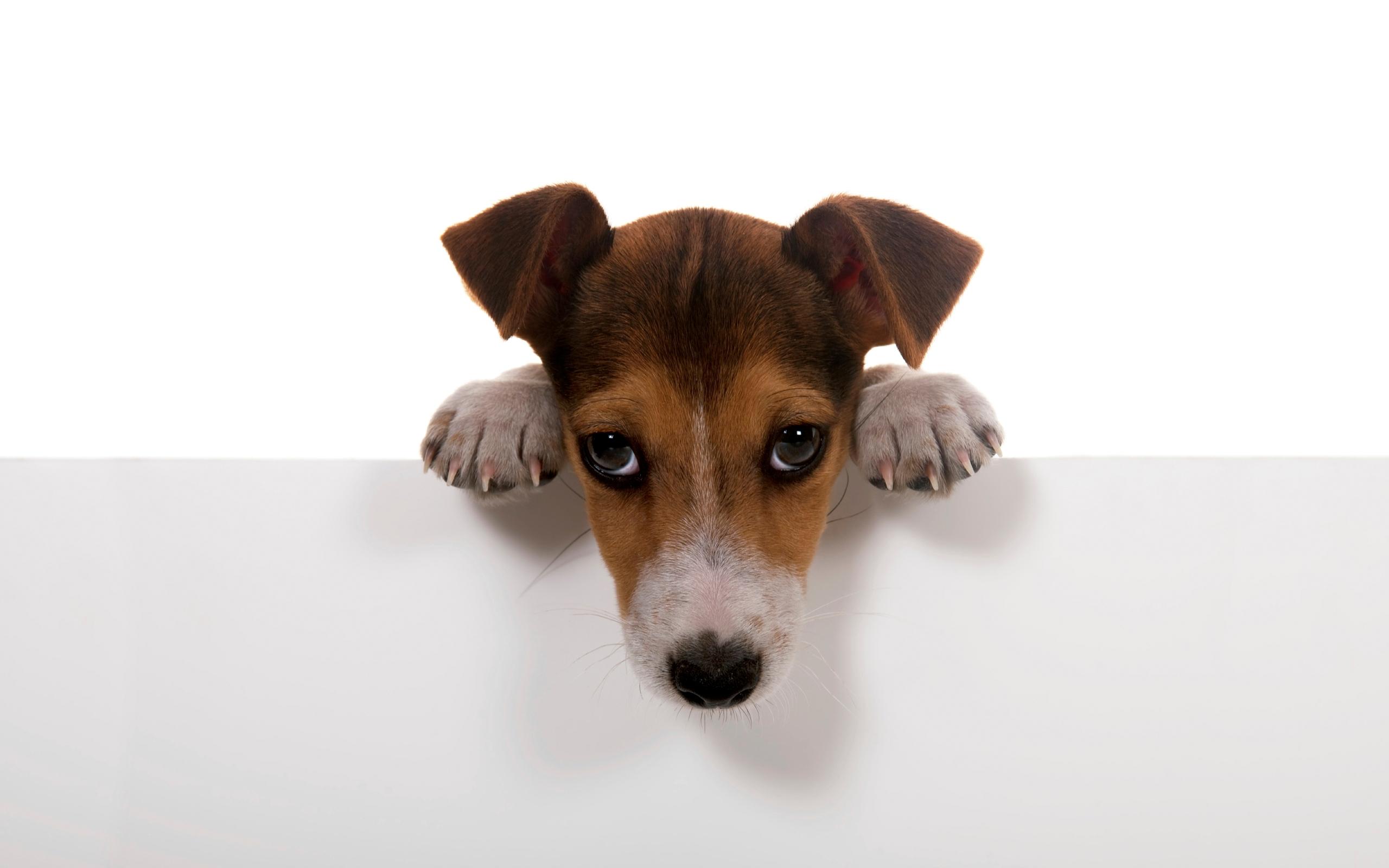 собака мордочка уши  № 1069397  скачать
